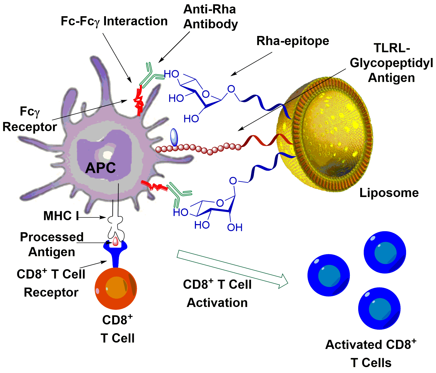 Figure 2.  A liposomal immunotherapeutic which uses Antibody Recruiting Molecules (ARMs) moieties to enhance activity.