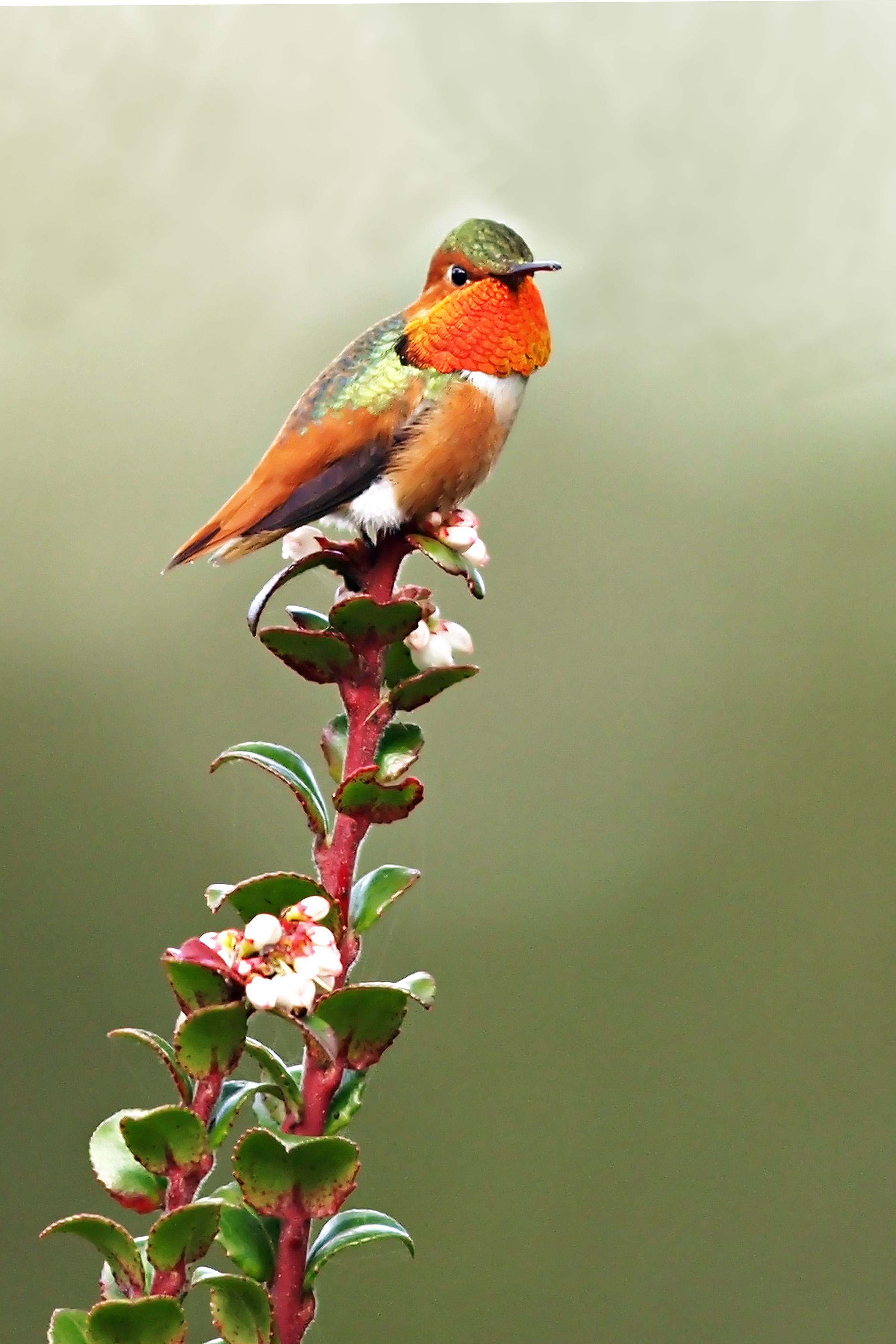 Allen's Hummingbird, photo:  Ed Stetson