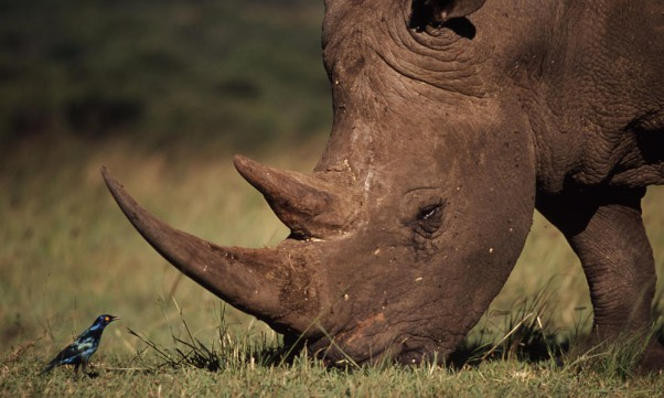 A white rhino. Pic: Zululand Observer