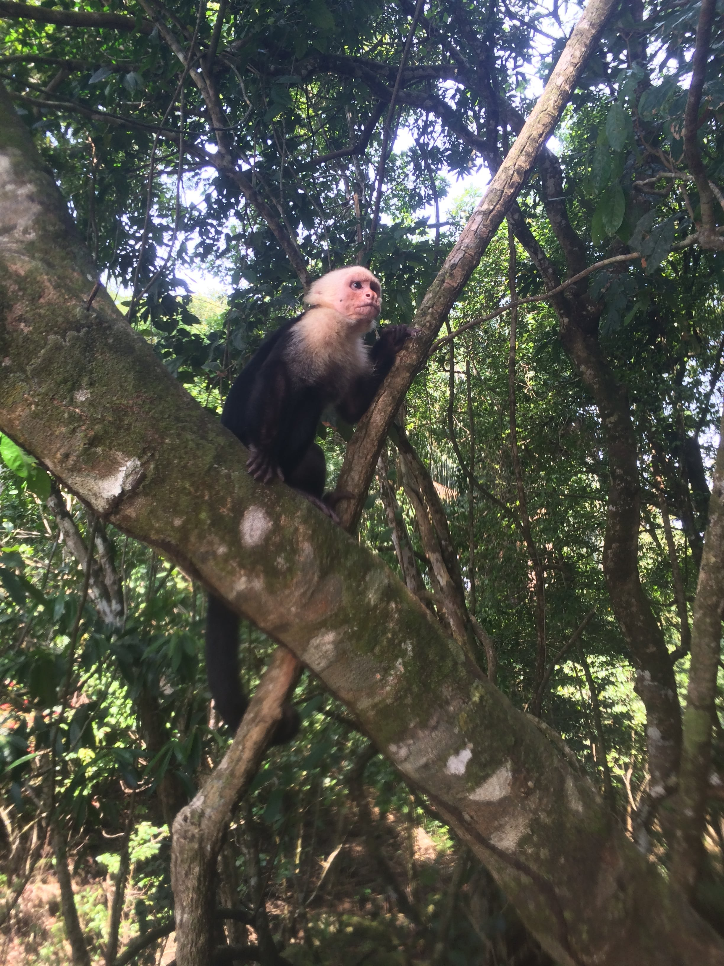 White faced capuchin monkeys in Manuel Antonio National Park, Costa Rica