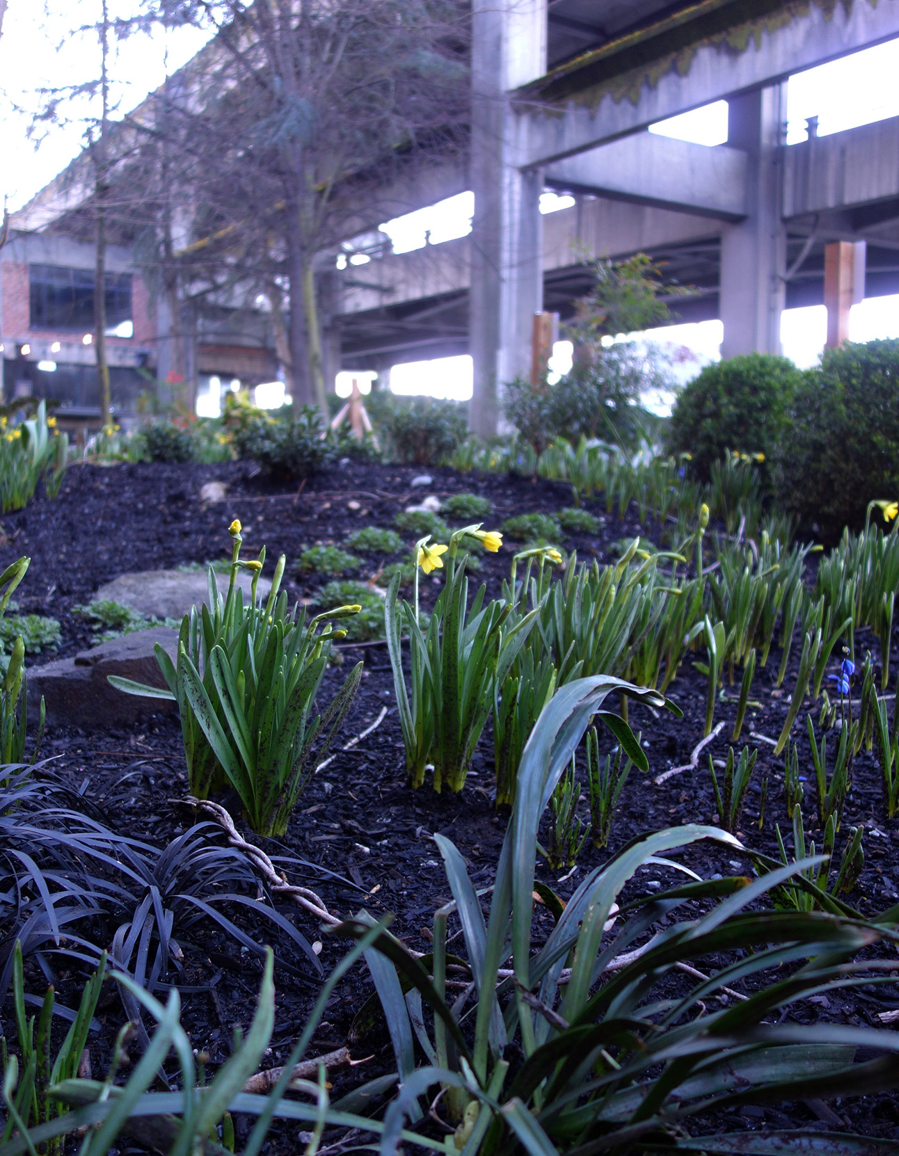 Daffodils brighten up our garden in the shadow of the viaduct.