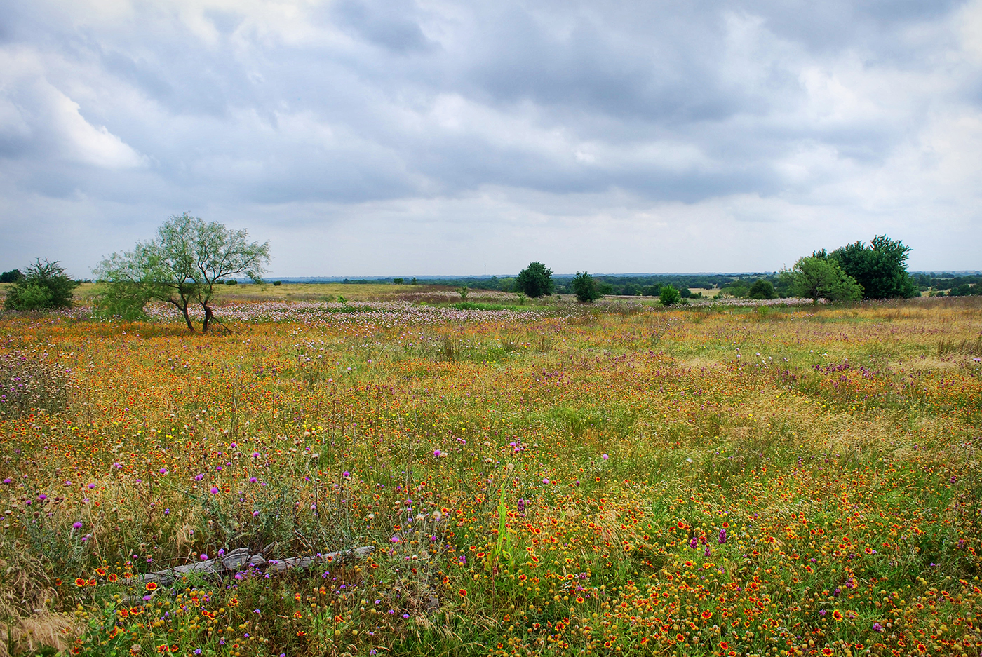 Mike Williams has been working on the Simpson Prairie for 20 years, gradually introducing plants and composing a striking landscape. Scarlet and yellow gaillardias are prominently featured in the meadown near Crawford, Texas.