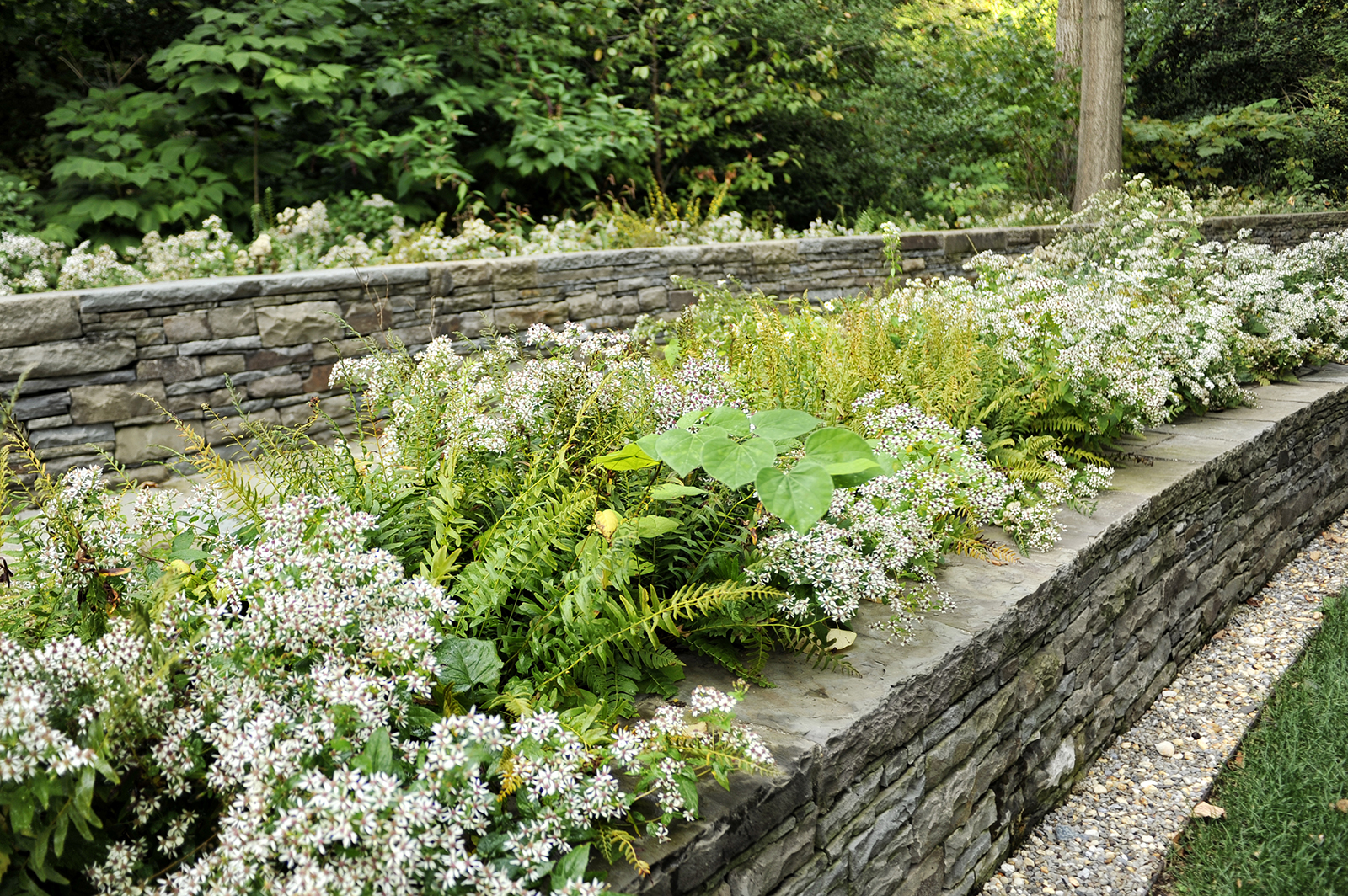 Aster divaricatus  and Christmas fern spill over bluestone walls at the National Cathedral in Washington D.C. by Michael Vergason. The planting offers a transitional border between the architectural space and the surrounding woodland.