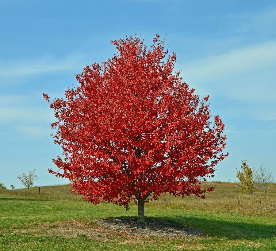 Red Maple 'Red Sunset', Acer rubrum, 'Franksred', 1999-104, 1 October 2012  DSC_3400.jpg