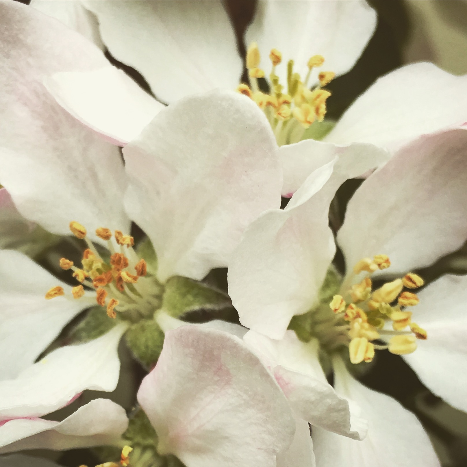 The overlapping forms of apple blossom petals  Photo by Renee Frier