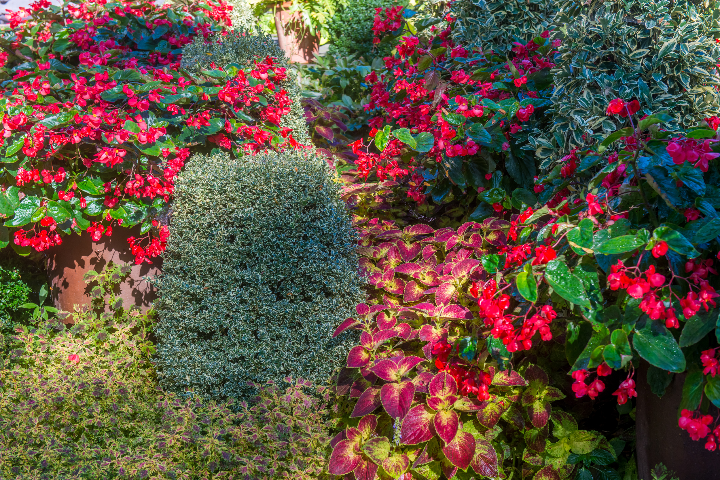 Euonymus amongst annuals