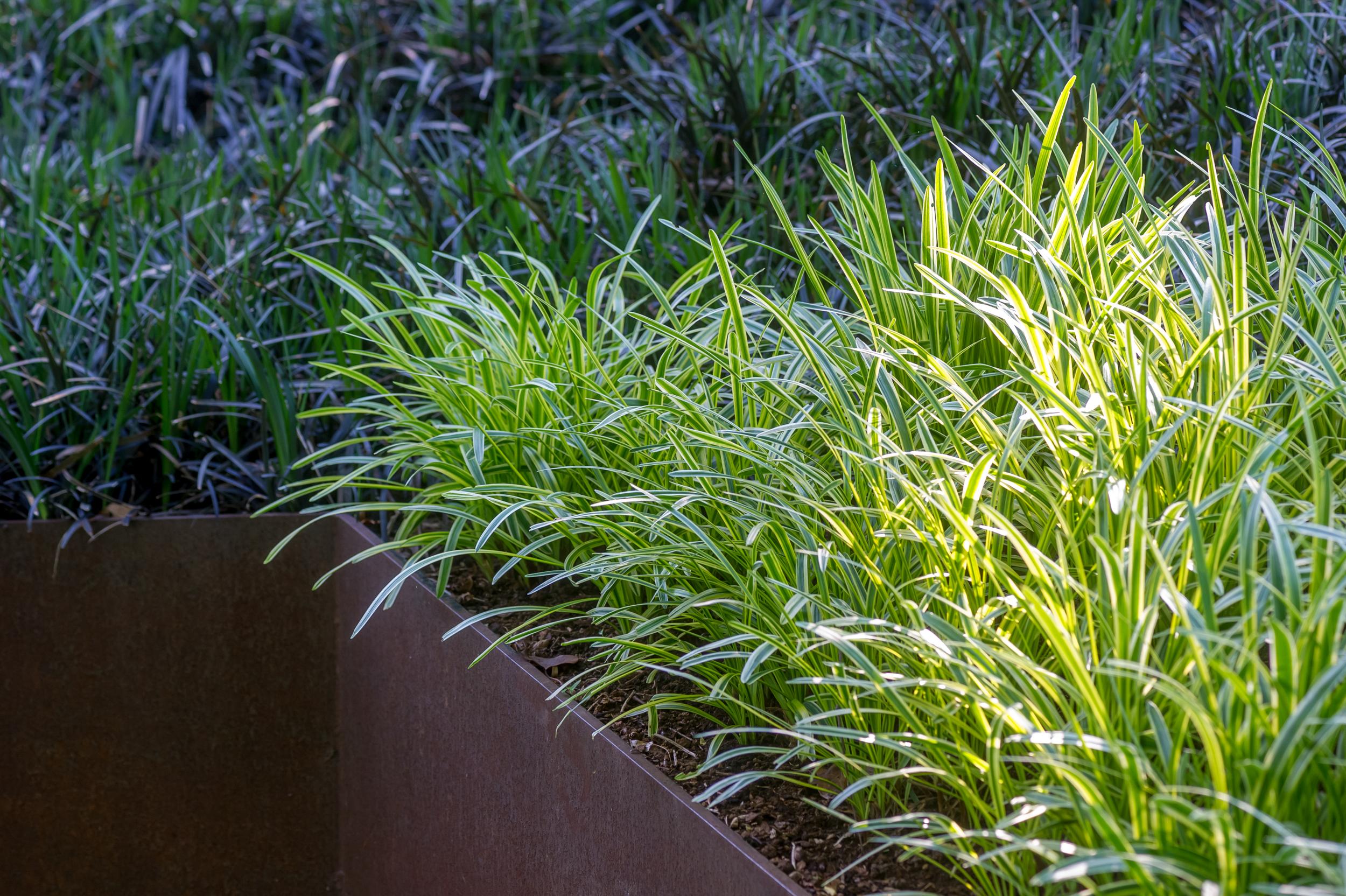 raised steel corten planter with mass planted liriope