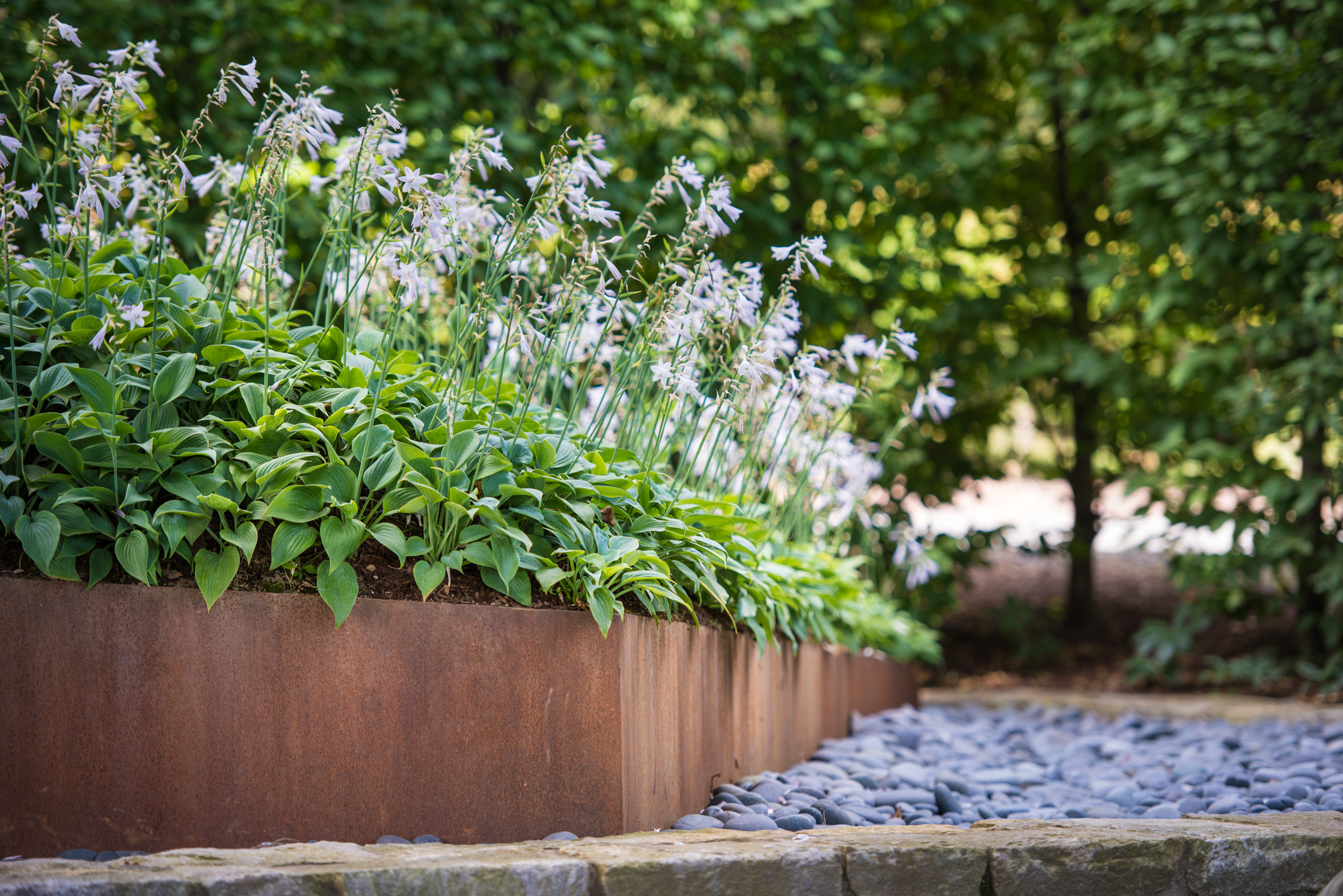 hosta hosain massplanted in corten planter