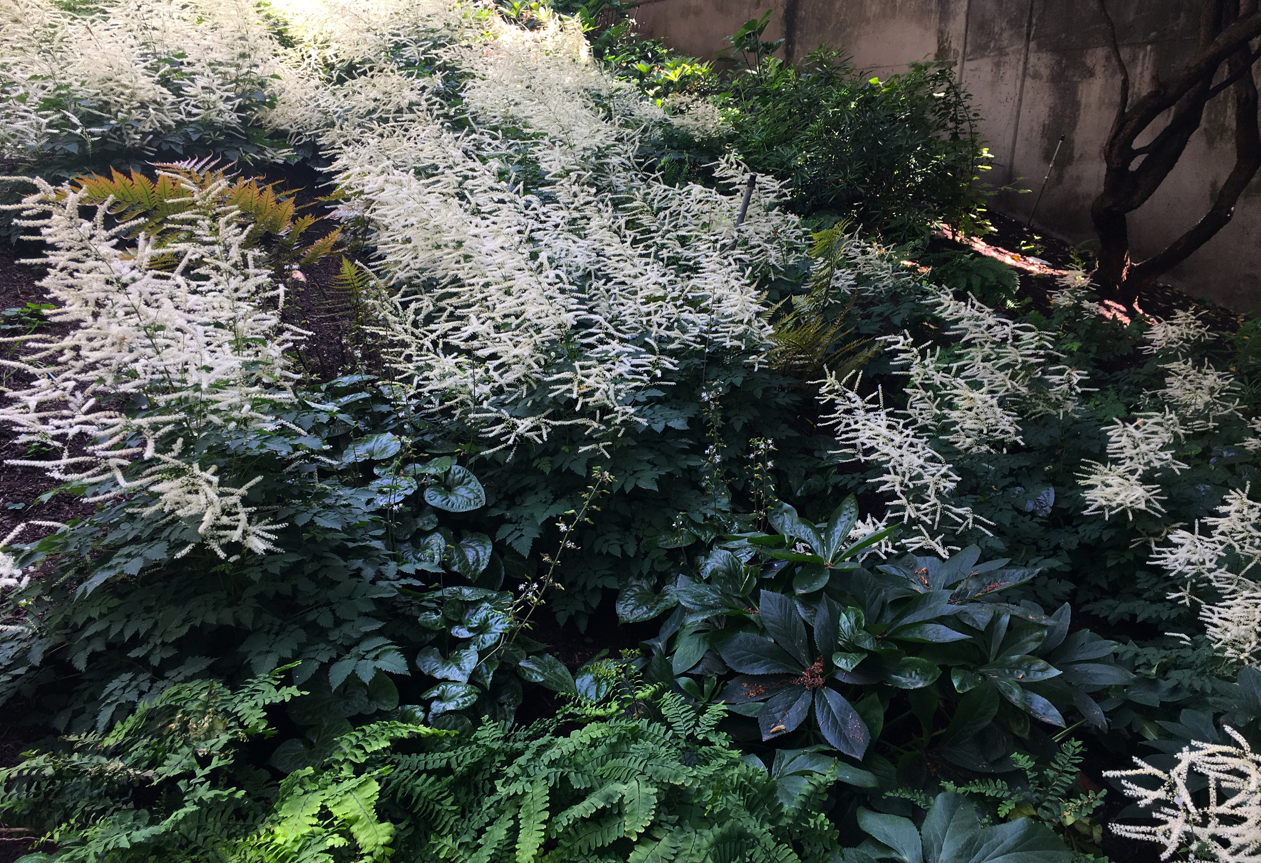 Large drifts of  Aruncus x 'Misty Lace'  take center stage among ferns, hellebore, and beesia along the Pike Street Hill Climb. (Planting design for  The Friends of Waterfront Seattle  by Land Morphology.)