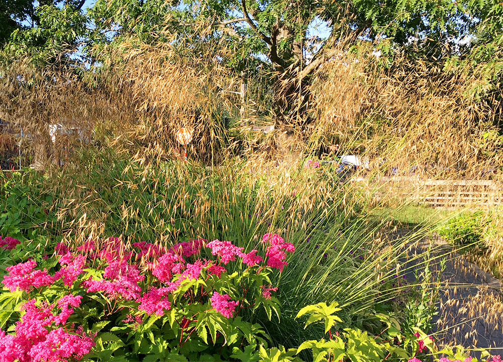 Stipa gigantea provides a gentle, shimmering screen throughout summer and fall.