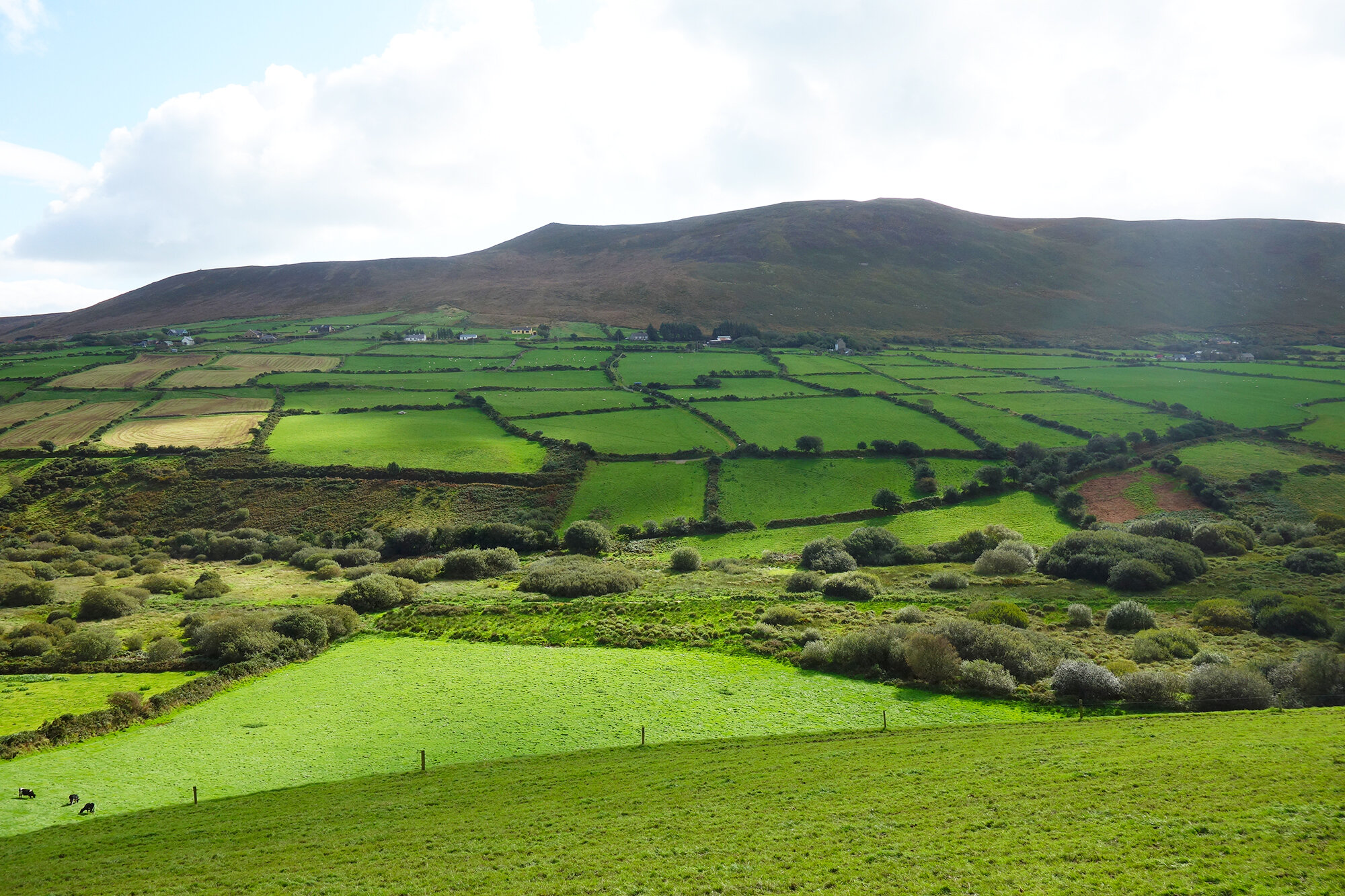 Grazing pastures and agricultural fields separated by stone walls are characteristic of the landscape in this area of the Dingle Peninsula, Republic of Ireland. Here brambles have grown over many of the dry stacked walls in the distance.