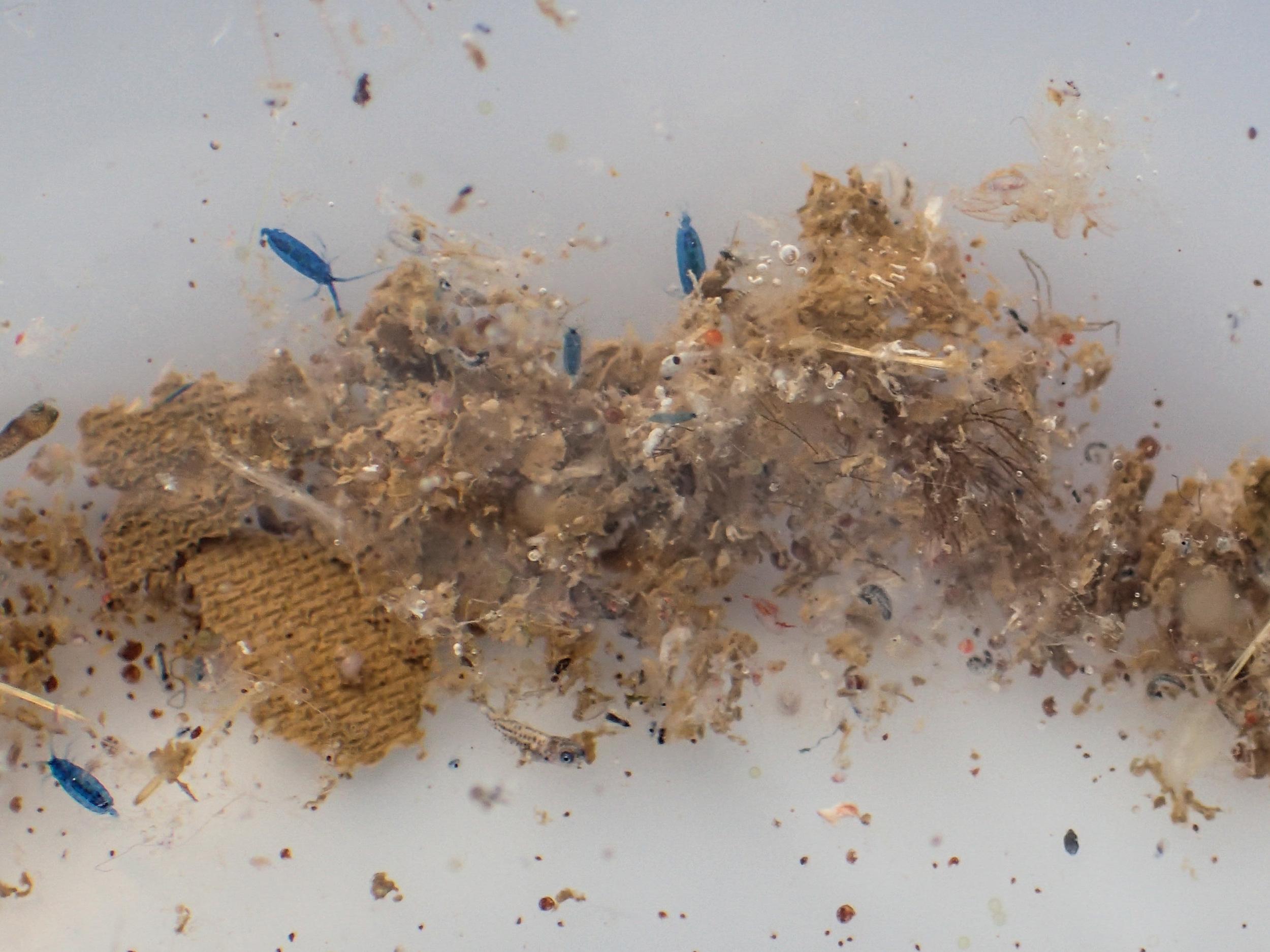 blue copepods