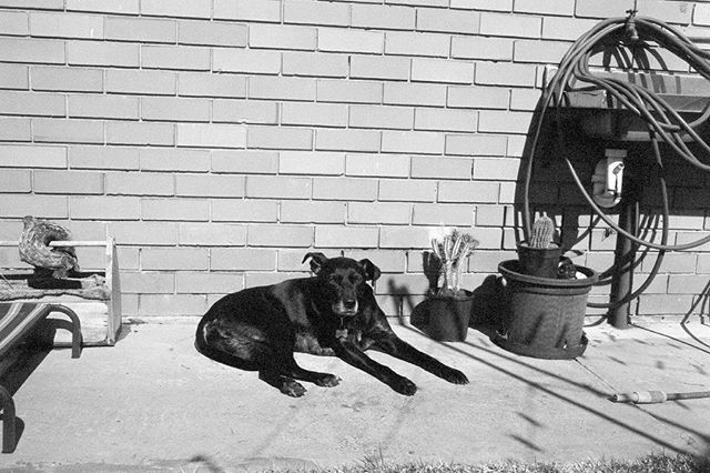 Black and White Dog  #35mm #film #blackandwhite #kurteckardt #ilford #dog