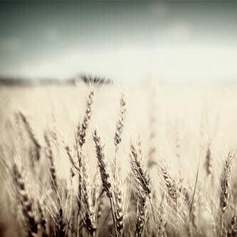 English-barley.jpg