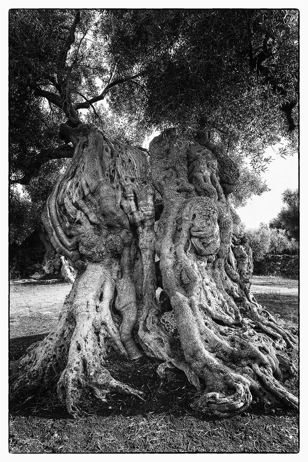 Naturfotografie - jahrhunderte alte Olivenbäume