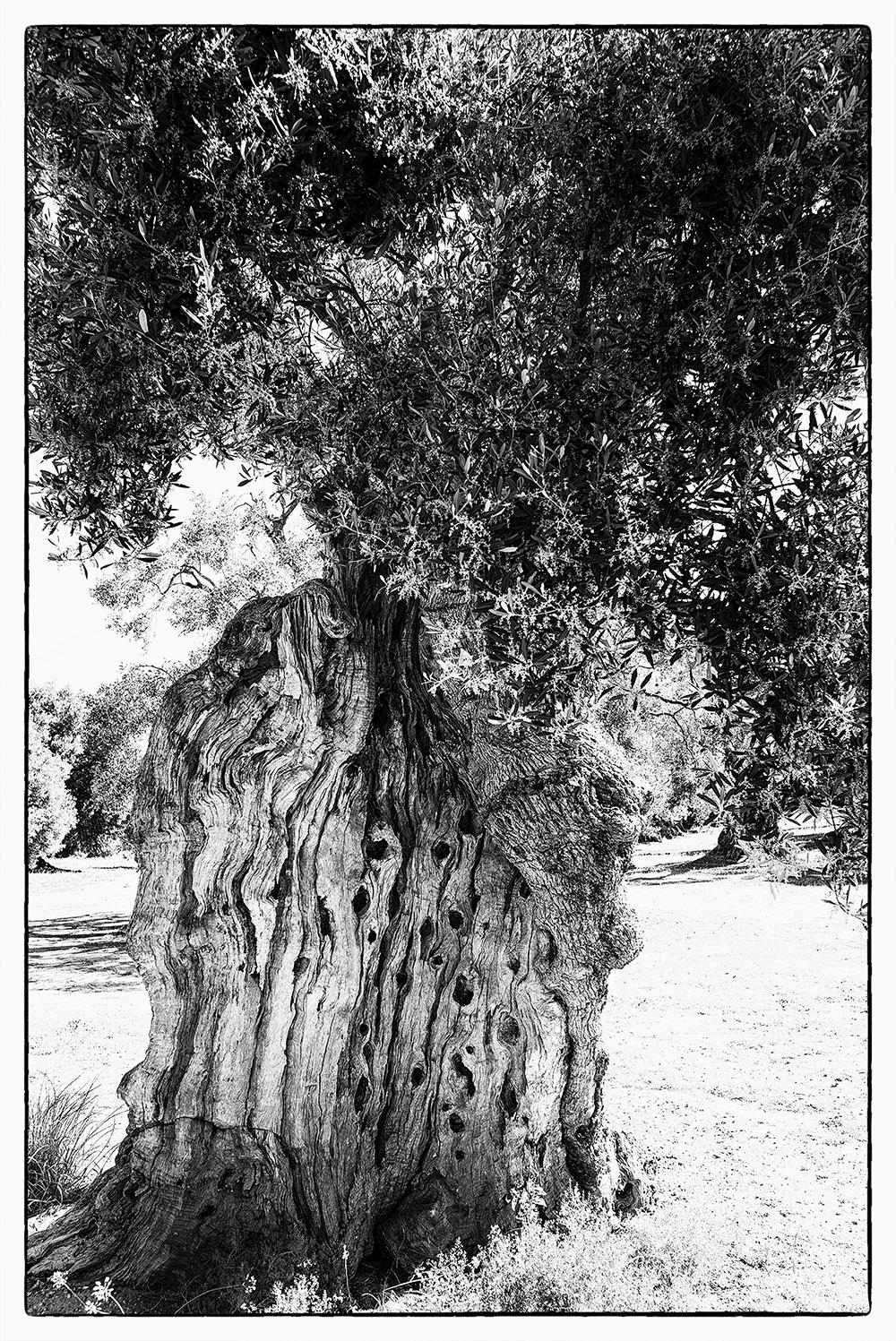 Fotowerk Naturfotografie - alte Olivenbäume
