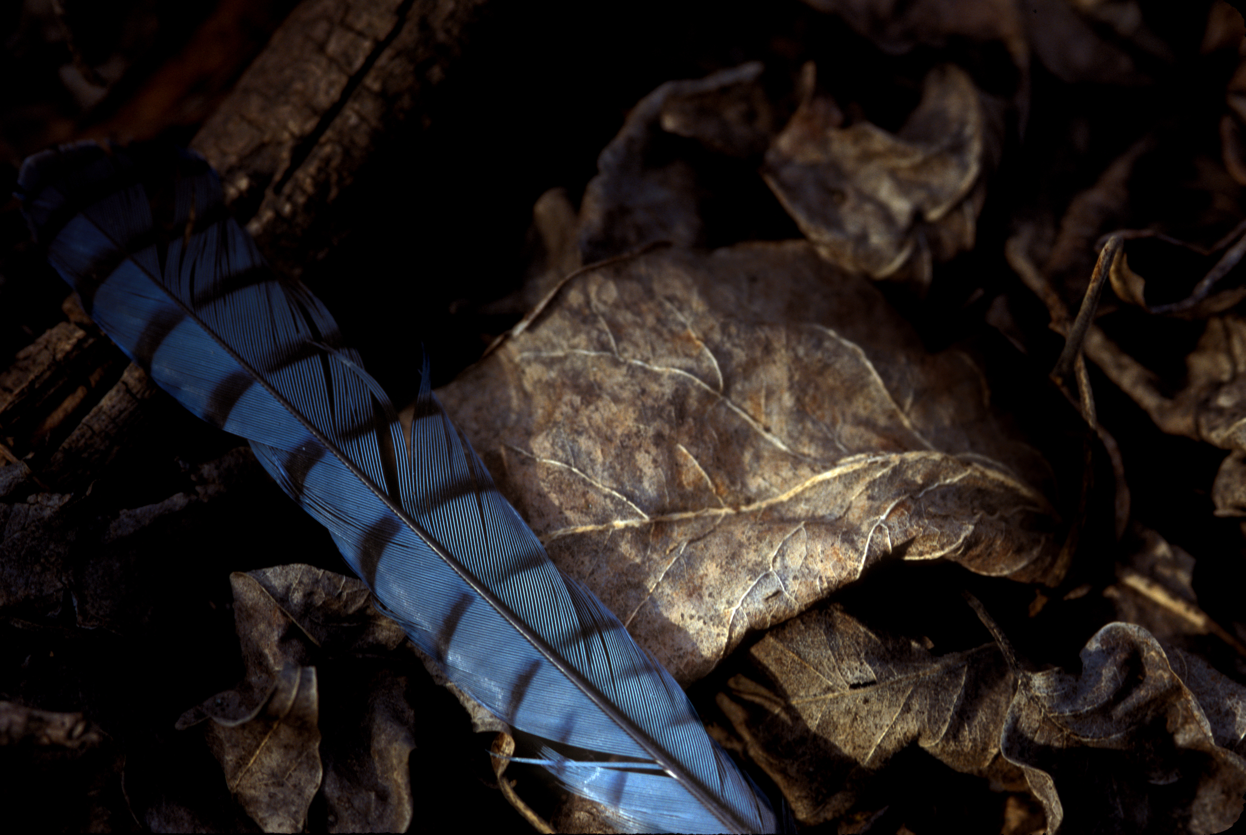 Blue Jay Feather on Leaves 001.jpg