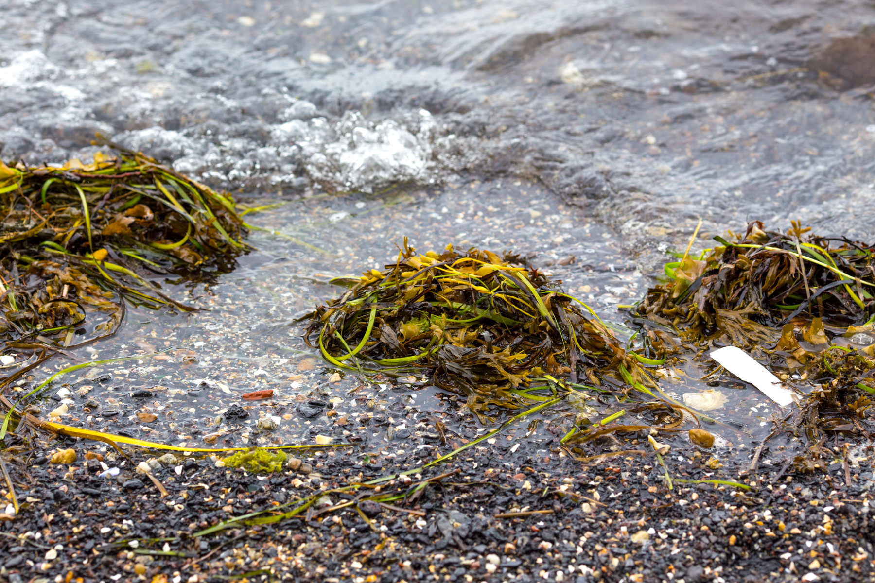 seaweed, maine coast