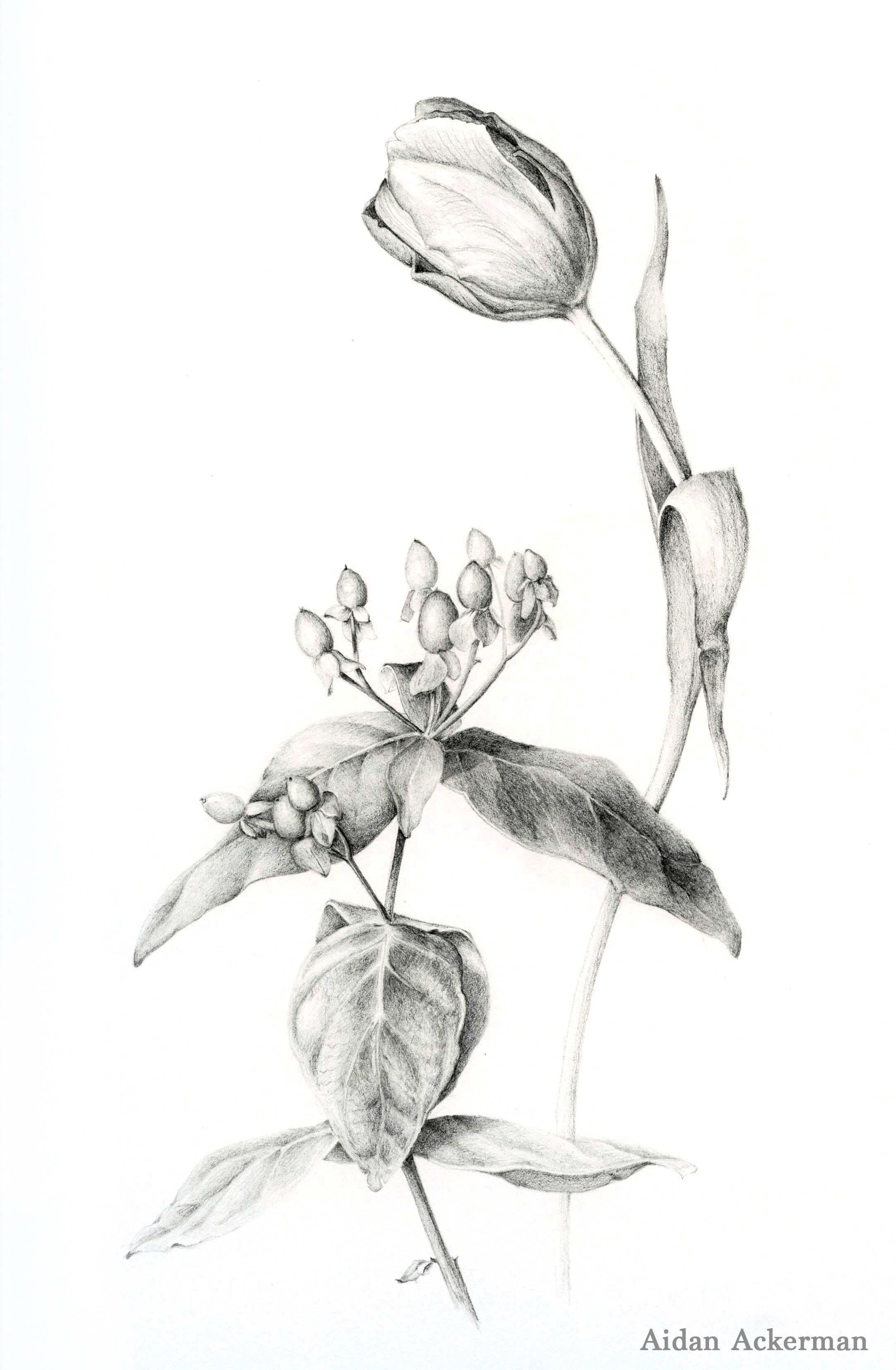 Drawing by Aidan Ackerman