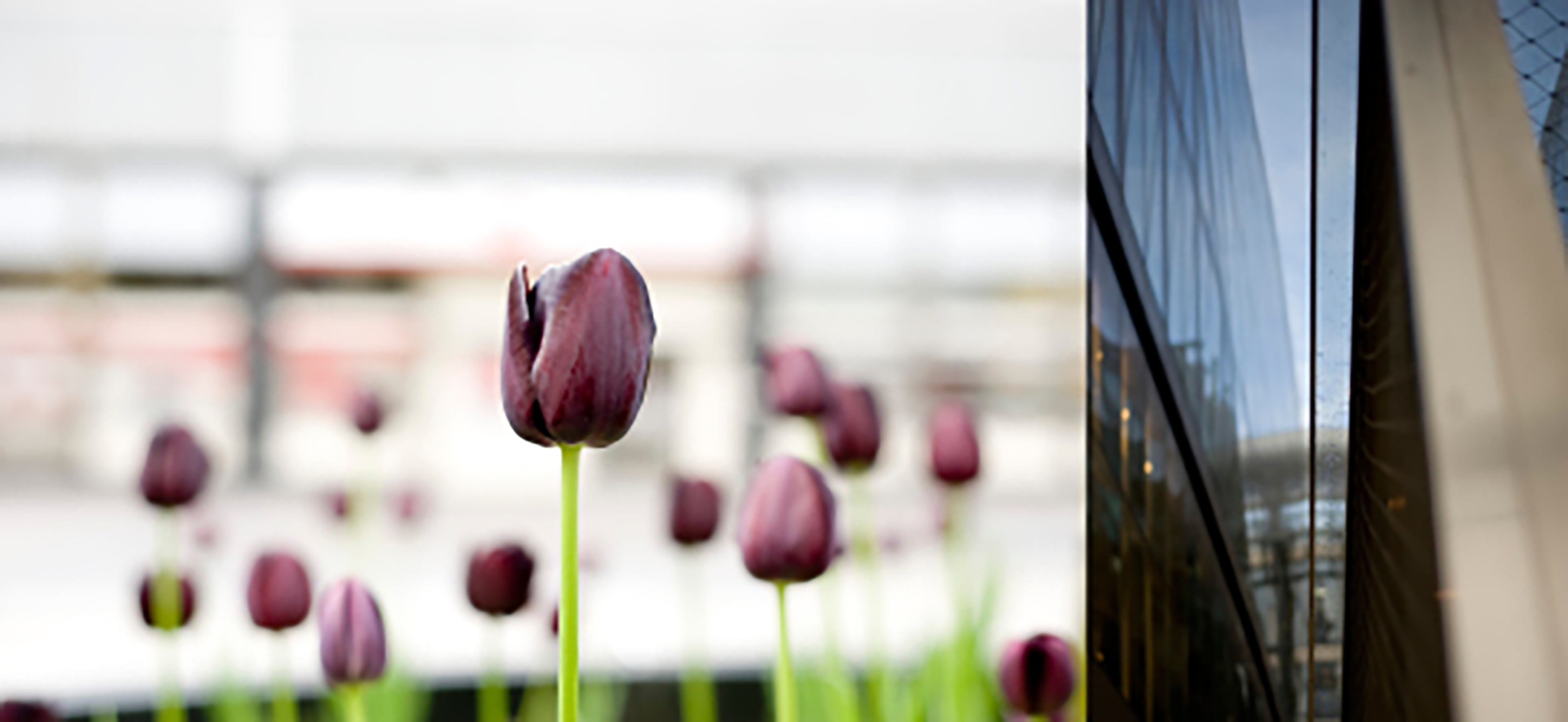 2011-april-tulip-pair-1.jpg