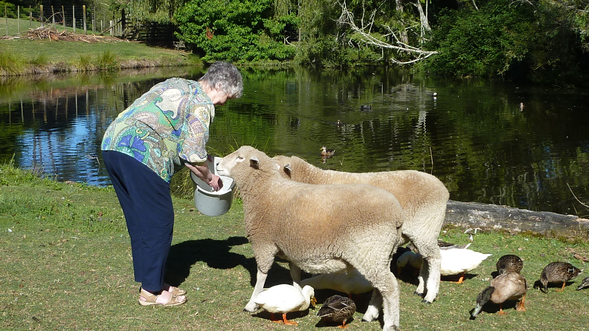 Feeding the Sheep at Mokoia Downs.JPG