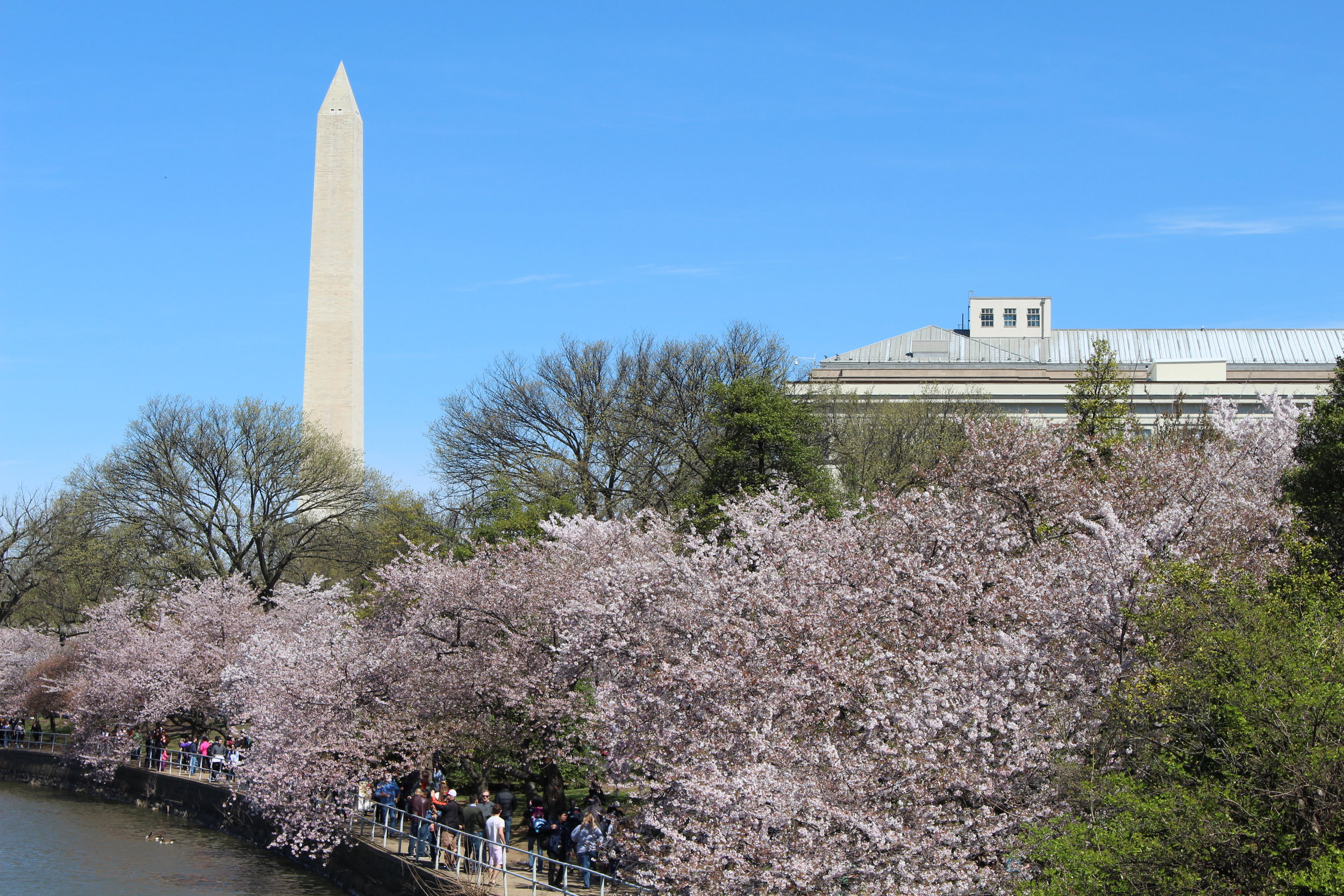 Cherry Blossoms and the Washington Monument