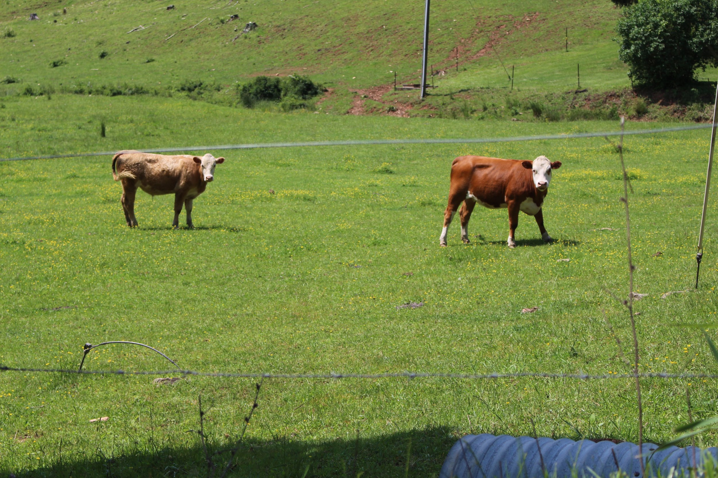 I have this thing for cows and goats.  I love them.
