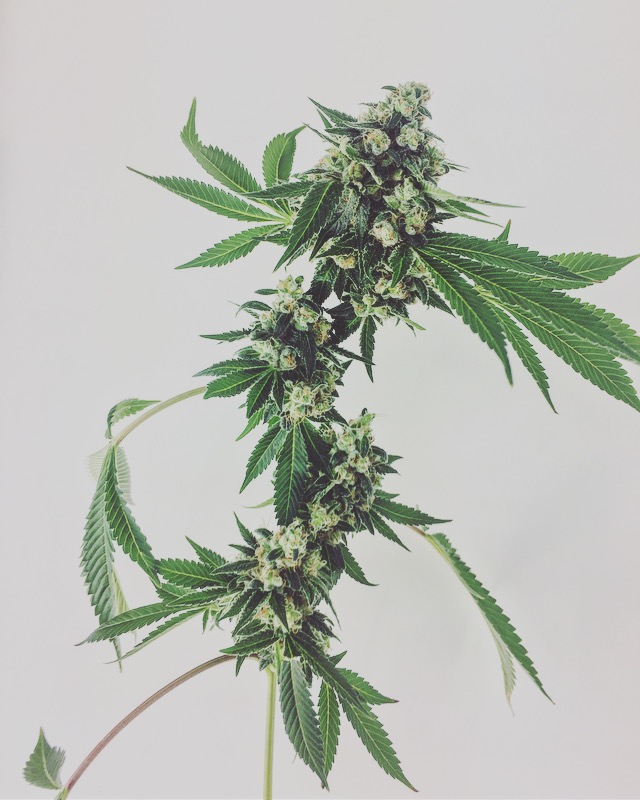 Our Strains — Mindful PDX
