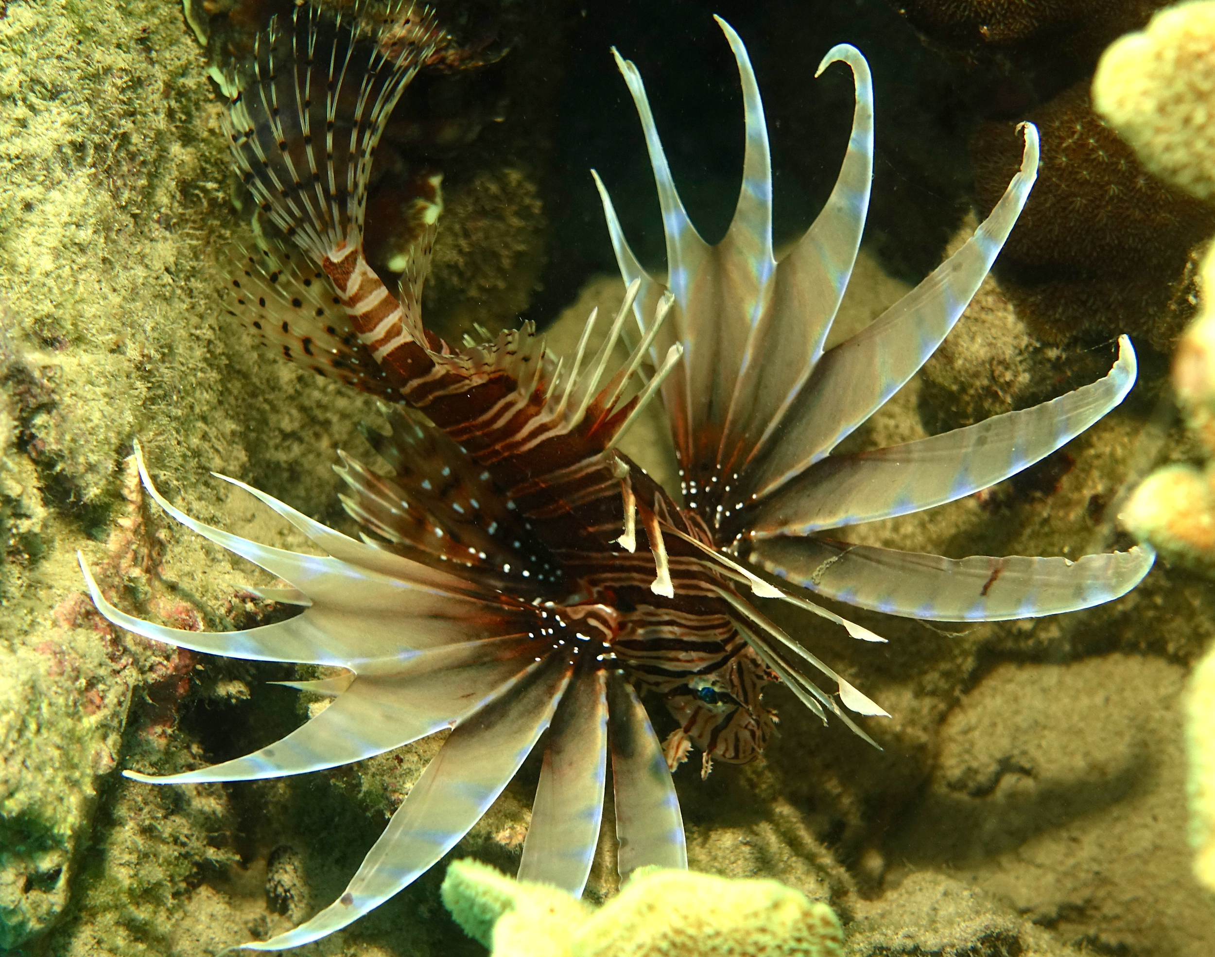 Lionfish or Butterfly Cod