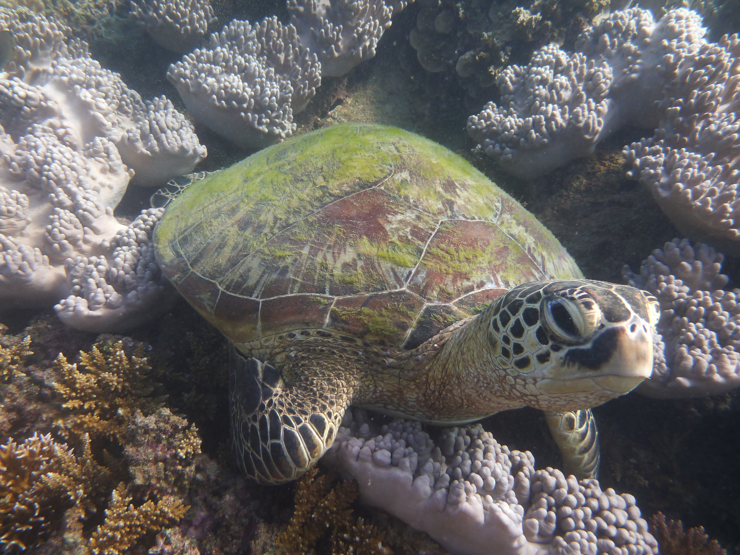 Green Turtle at Low Isles