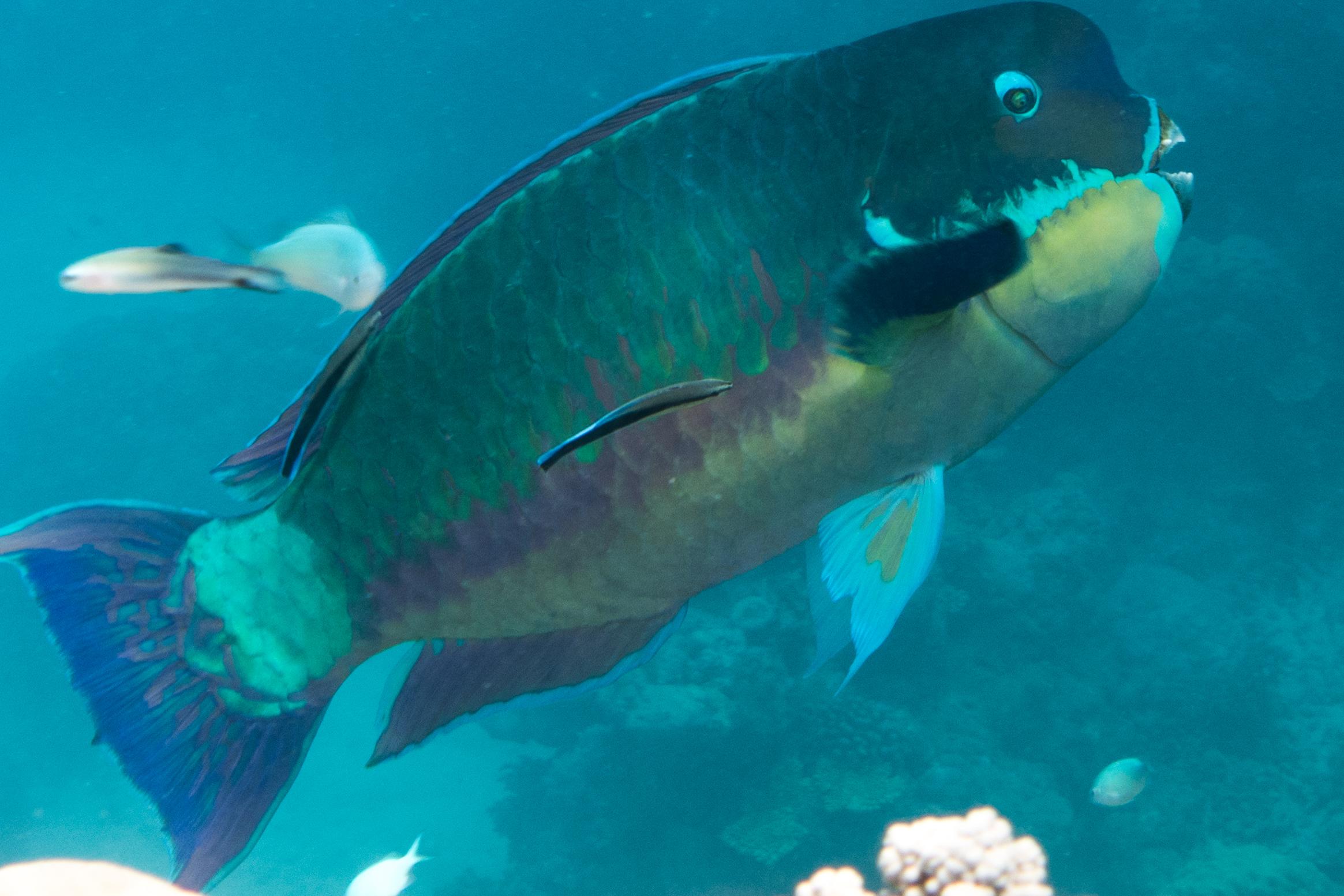 Male Parrotfish