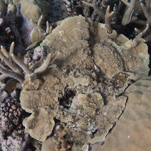 Its a war zone! Corals fight for space and light on the reef. This flat crusty coral (Montipora) is fast growing and is climbing up the branches of a Staghorn (Acropora) coral. These opportunistic corals can also be of great value as early pioneers of areas damaged and left bare by storms, Crown of Thorns starfish or coral bleaching.  Nature is objective, and there is a place and time for everything, if we humans step out of the way.