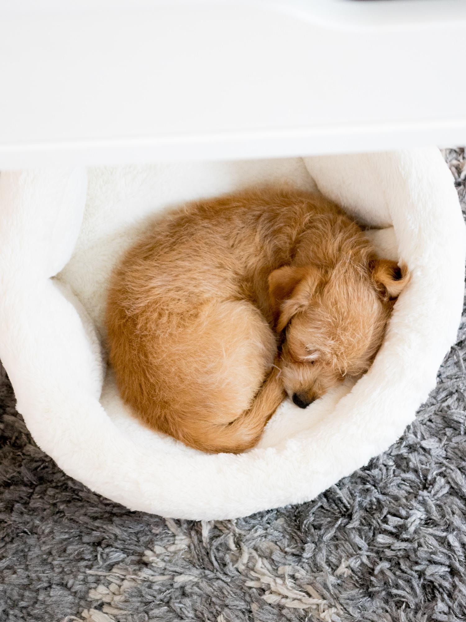 Peanut the Puppy Sleeping under the Desk