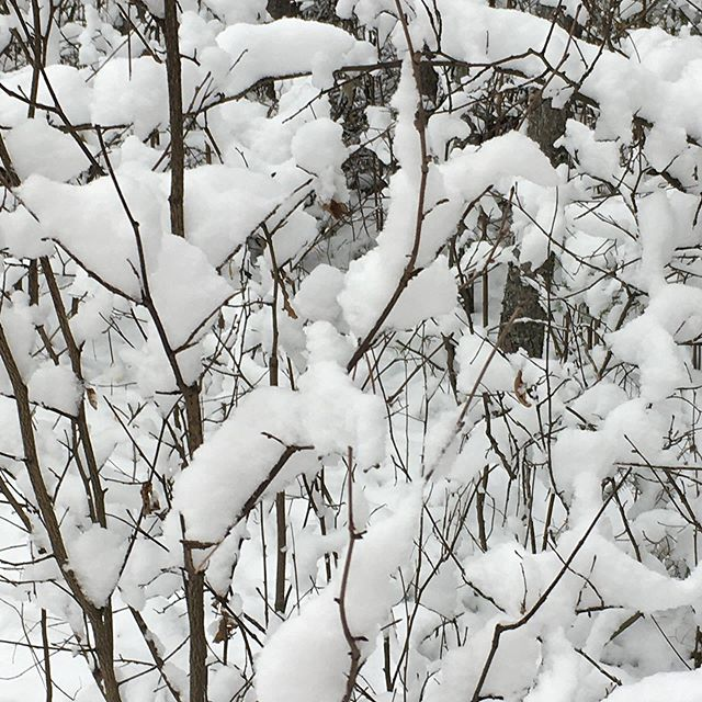 #snow #moresnow #branches #boughs #heavyweight #timberstrail #hiking #snowshoessoon #hadsomefun #duckmountain