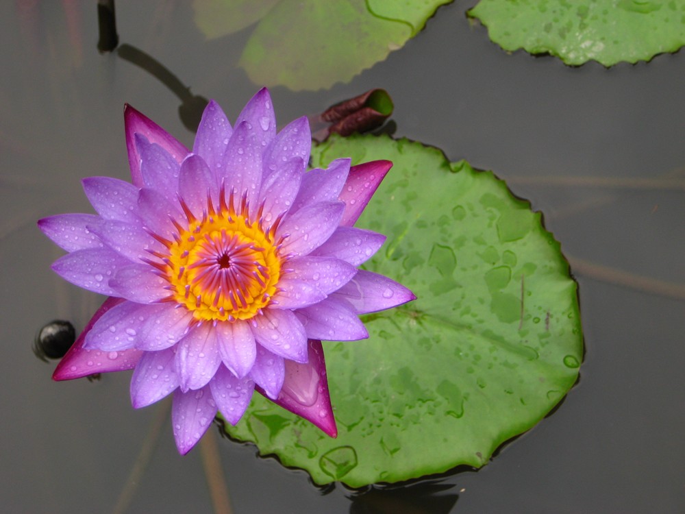 Water lily after rain_1000px