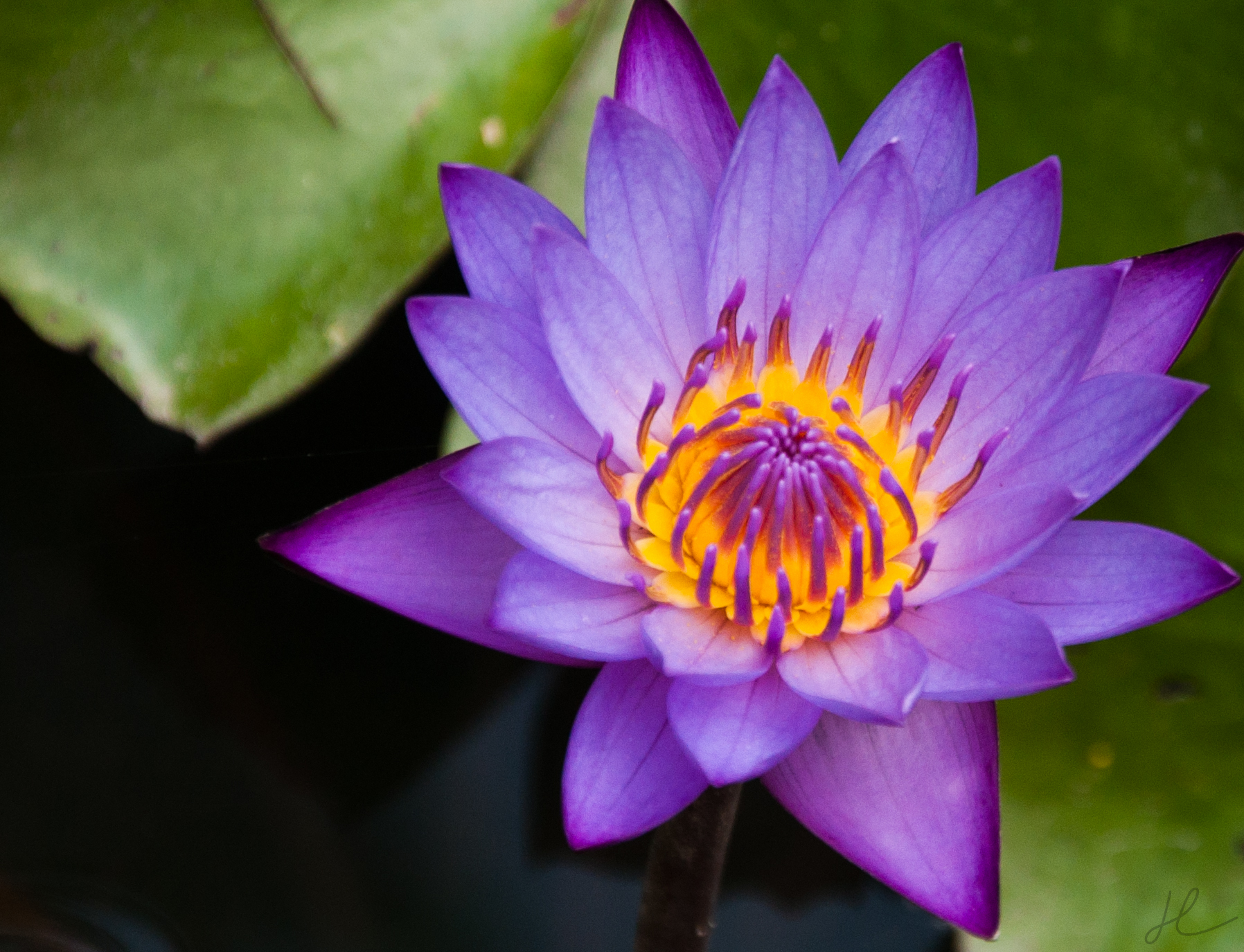 Black water lilly from karangasen provence