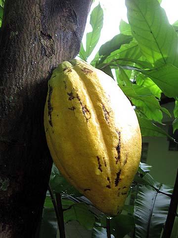 cacao-01
