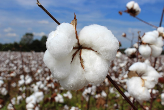 Cotton Boll.jpg