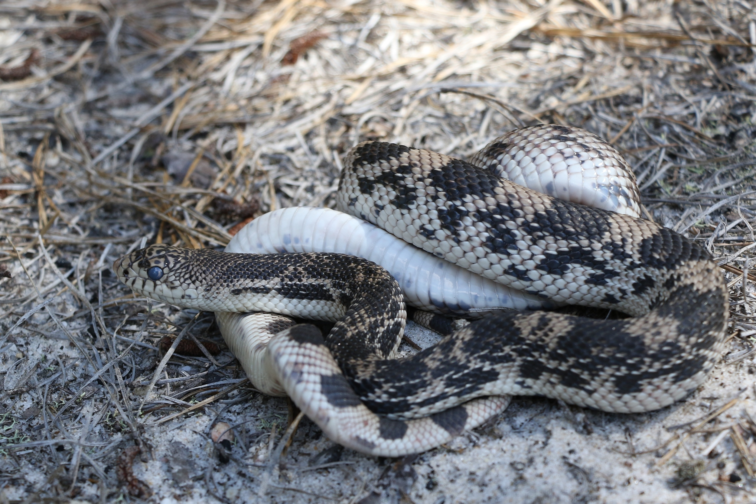 Northern Pinesnake in shed