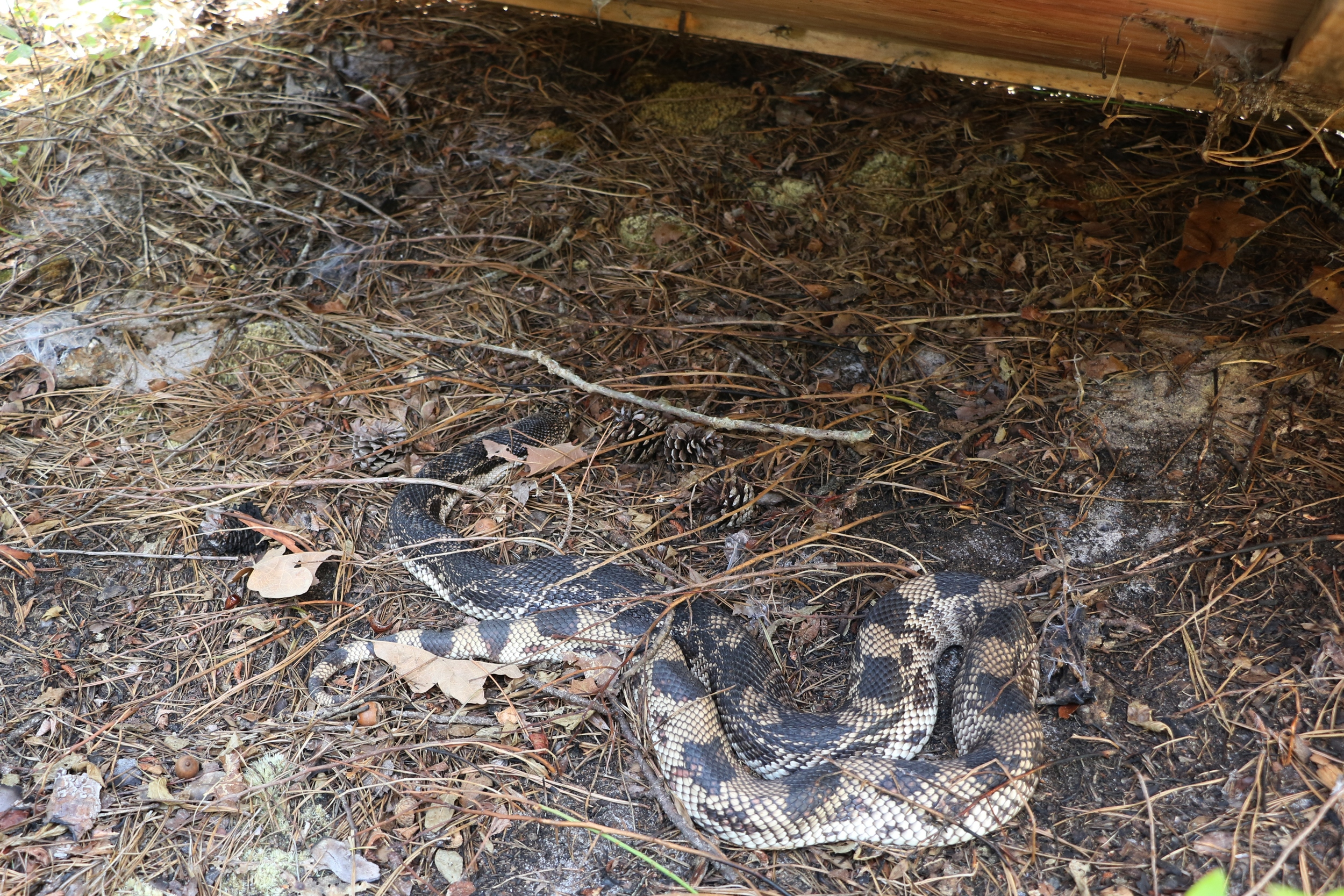 Northern PInesnake as flipped