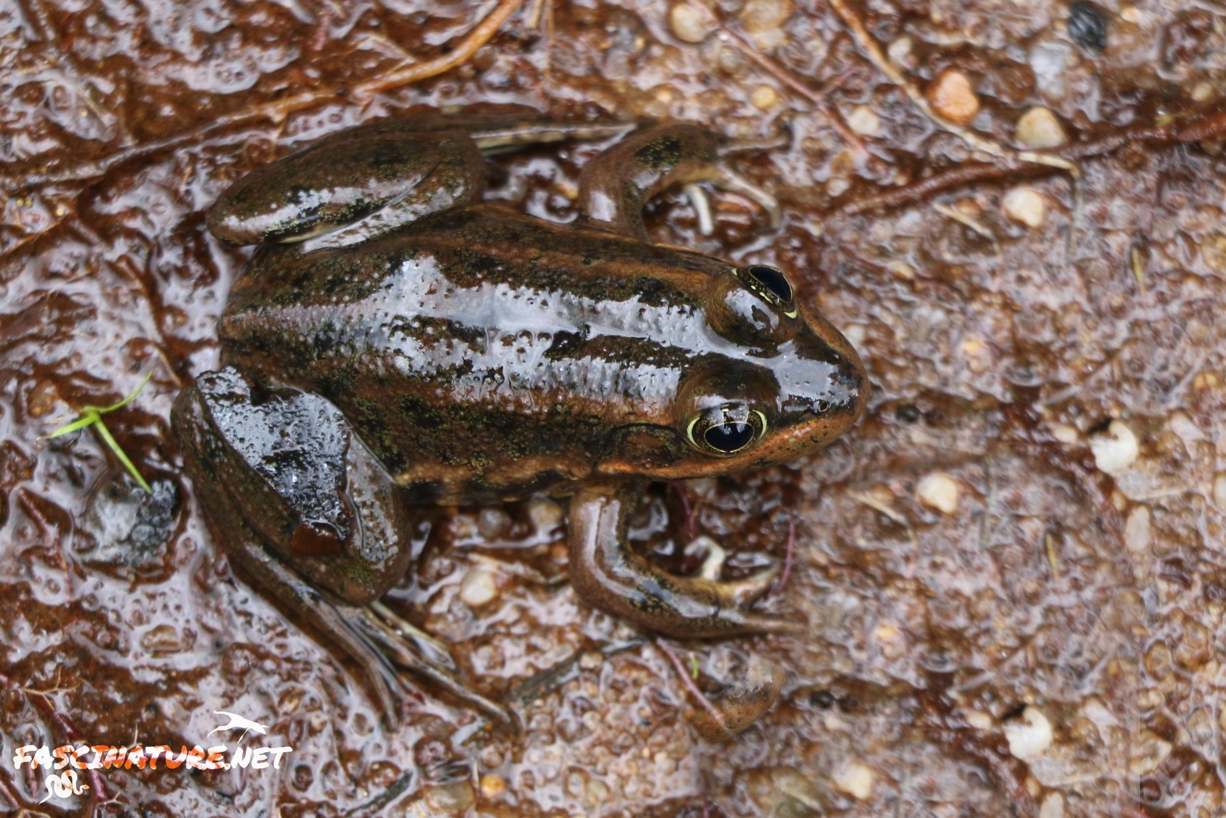 Carpenter Frog