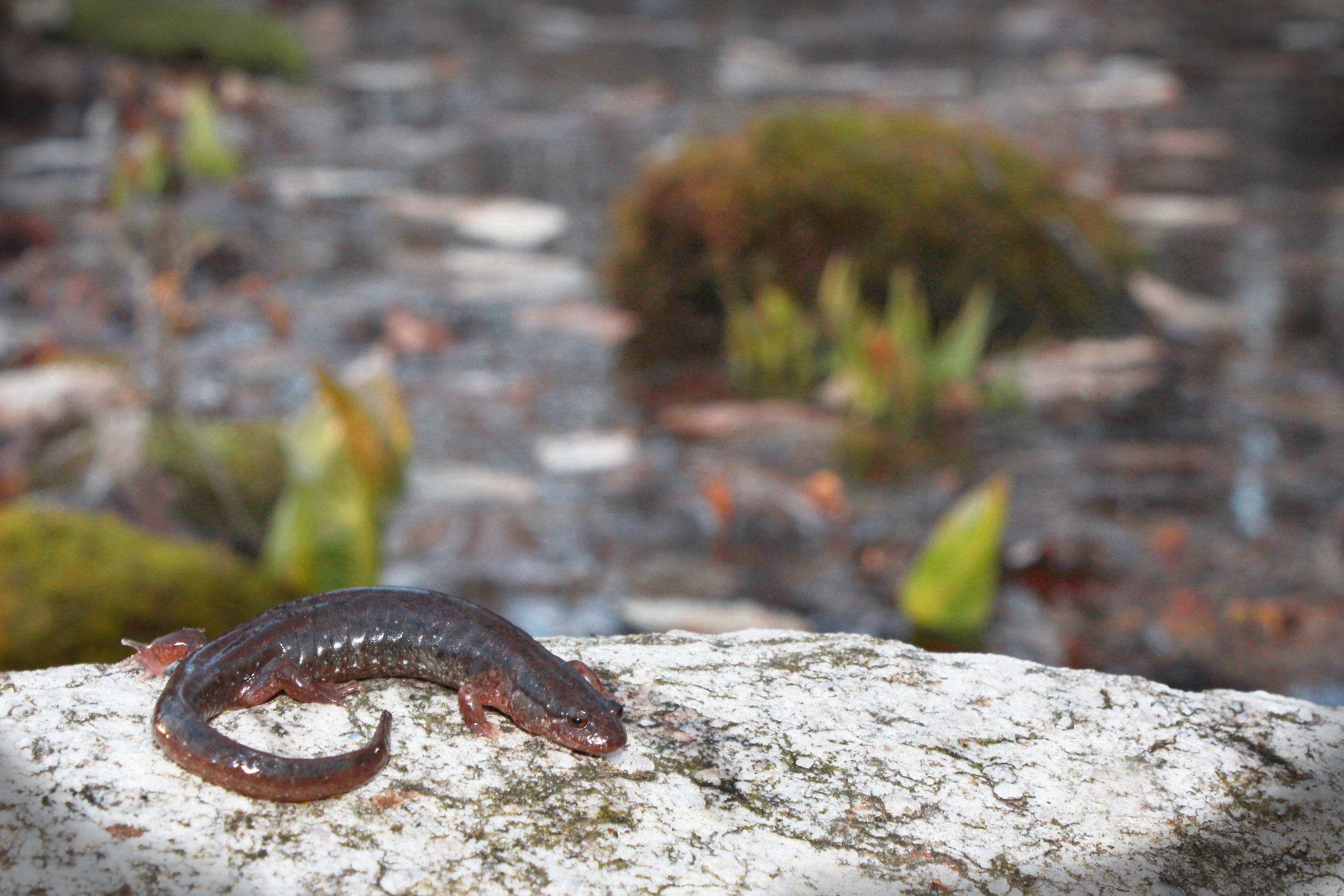 """Northern Dusky Salamander - Looking back, these were probably the first herps I """"targeted"""" as my Uncle would take me to a creek when I was 5-6 to find  black salamanders ."""