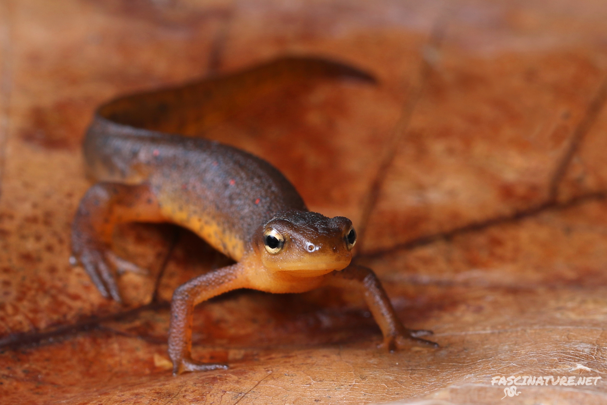 Red-spotted Newt - I've seen better looking individuals, but this is my first one encountered with my aforementioned new macro lens. I apologize for being bias towards the new photographs.