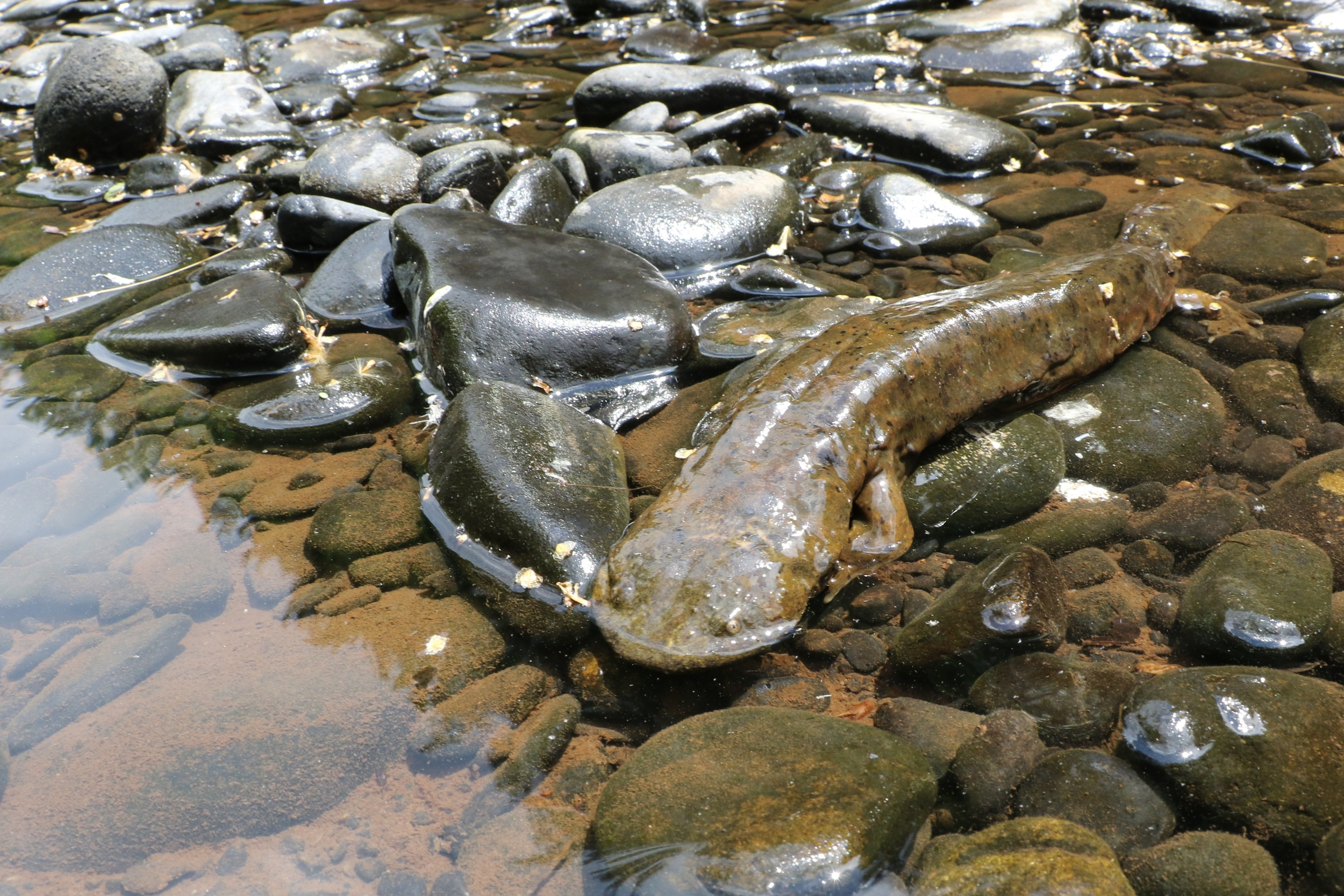 Eastern Hellbender - This is the largest salamander in North America. I was lucky enough to get all of my kids to see one this year, including my daughter who was both creeped out and intrigued by them. These guys are in trouble in the state. We'll see what the future holds.