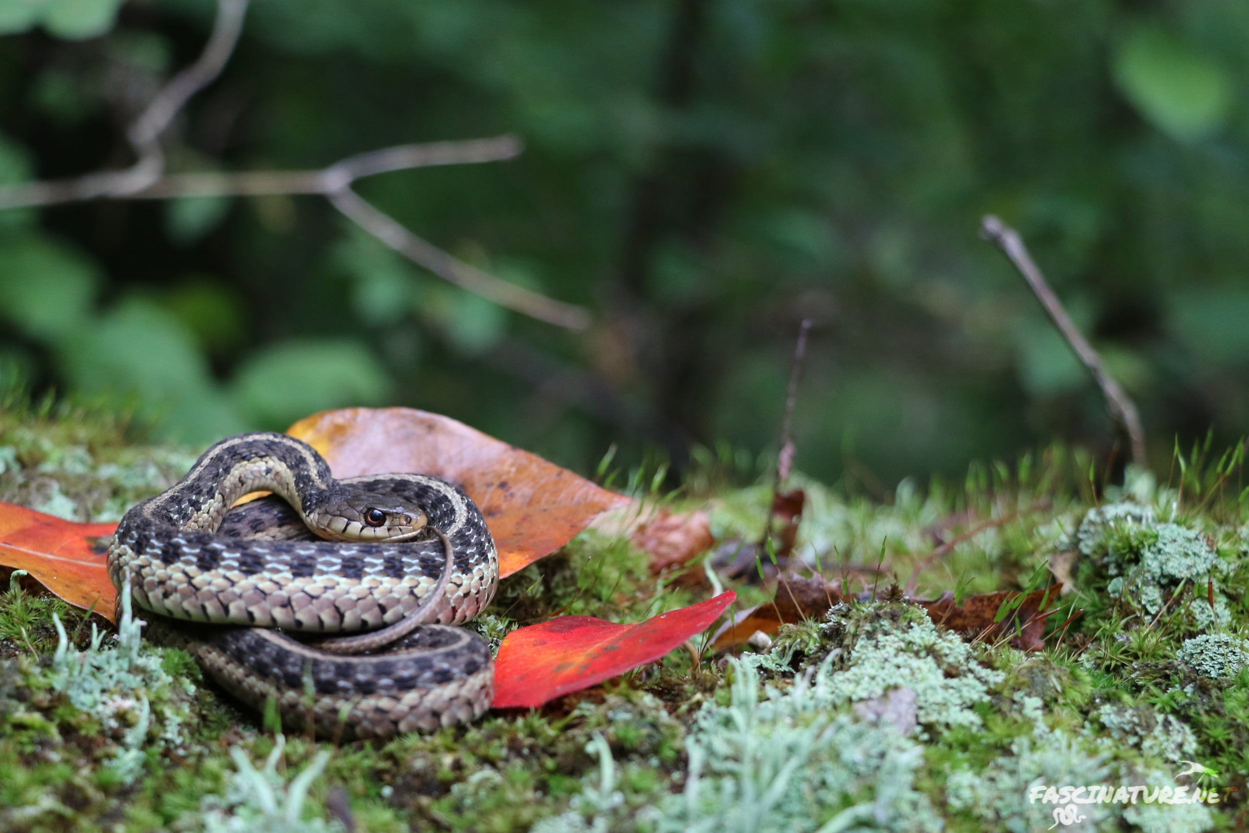 Eastern Gartersnake - I'll start out with this classic-looking individual.