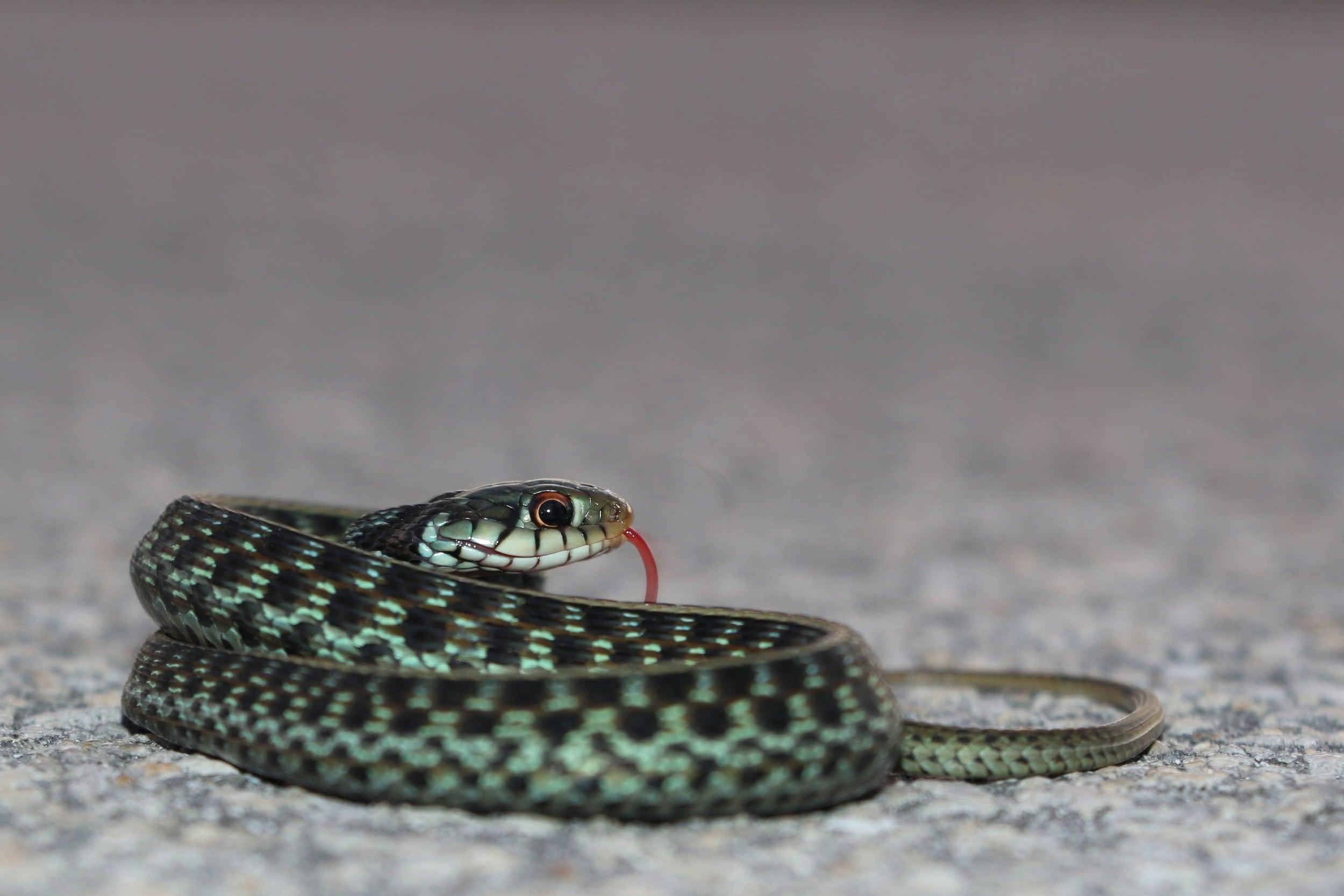 Eastern Gartersnake - This blueish individual was cruised in South Florida.