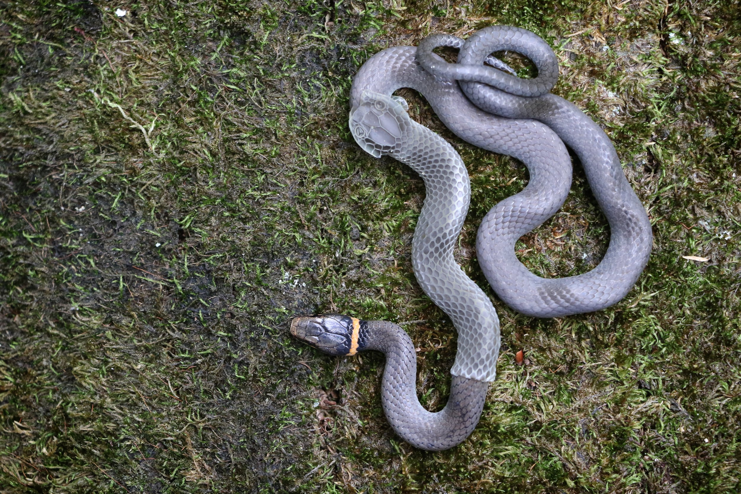 Northern Ring-necked Snake - I get these in the piedmont and mountainous regions. This individual, as is obvious, was just beginning to shed when I found it.
