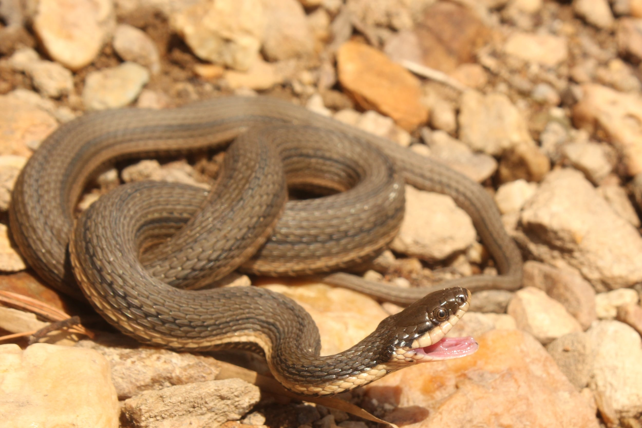 Queensnake - This queen from York County was a bit feisty but settled down quickly.