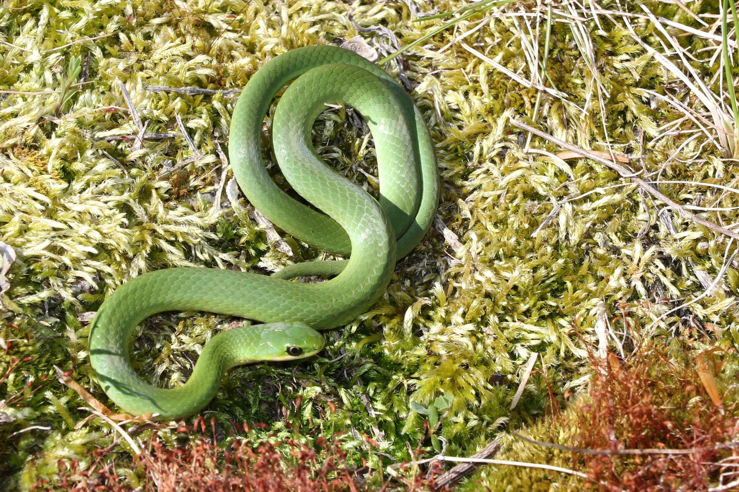 Smooth Greensnake - I find these in the Poconos a lot. They are a snake I always look forward to.