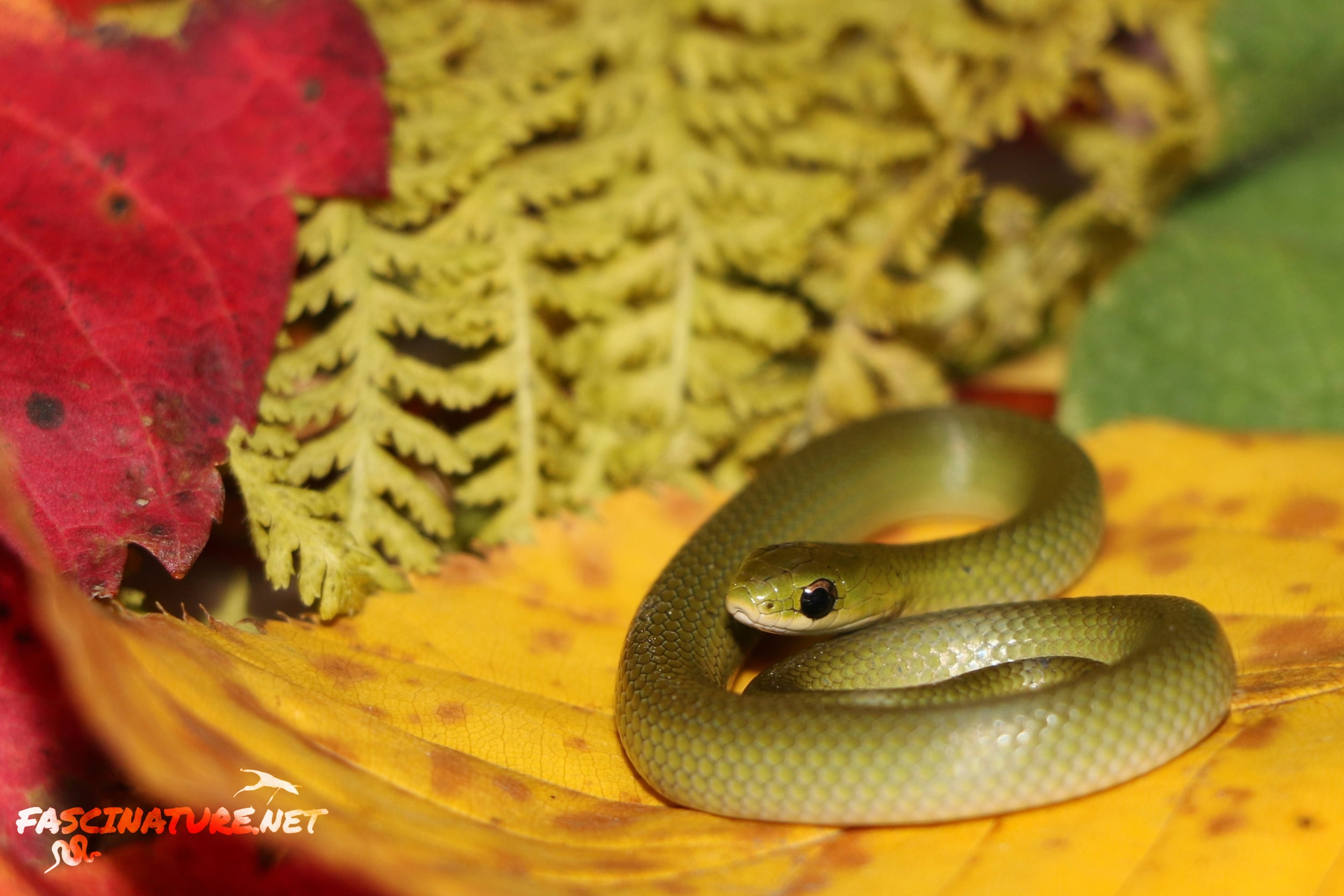 Smooth Greensnake - This was a hatchling I found on a 50-degree day in late October. It was a warm Autumn.